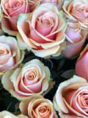 Rosa rosa gambo lungo