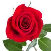 Rosa roja fresca para regalo