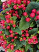 Rami di ipericum rosso