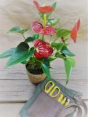 Planta De Anthurium Con Maceta