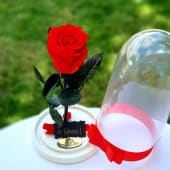 Trandafir rosu criogenat in cupola