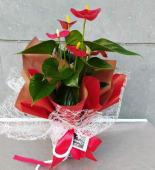 Planta Anthurium mini