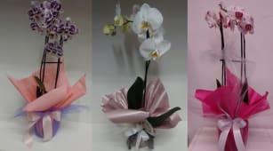 Orhideja aranžirana