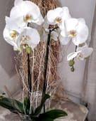 Planta de orquídeas phalaenopsis dos varas (60 cm.)