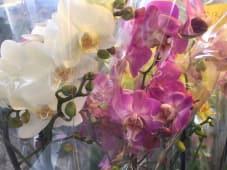 "Orchidee ""phalenopsis"""