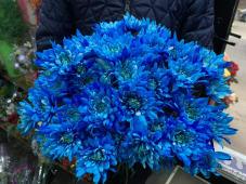 ლურჯი ხრიზანთემა