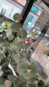 Lillium a ramo