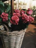Rosa eterna burdeos