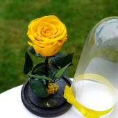 Trandafir galben criogenat in cupola