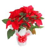 Poinsettia Regalo