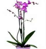 Orquídea elegante morada