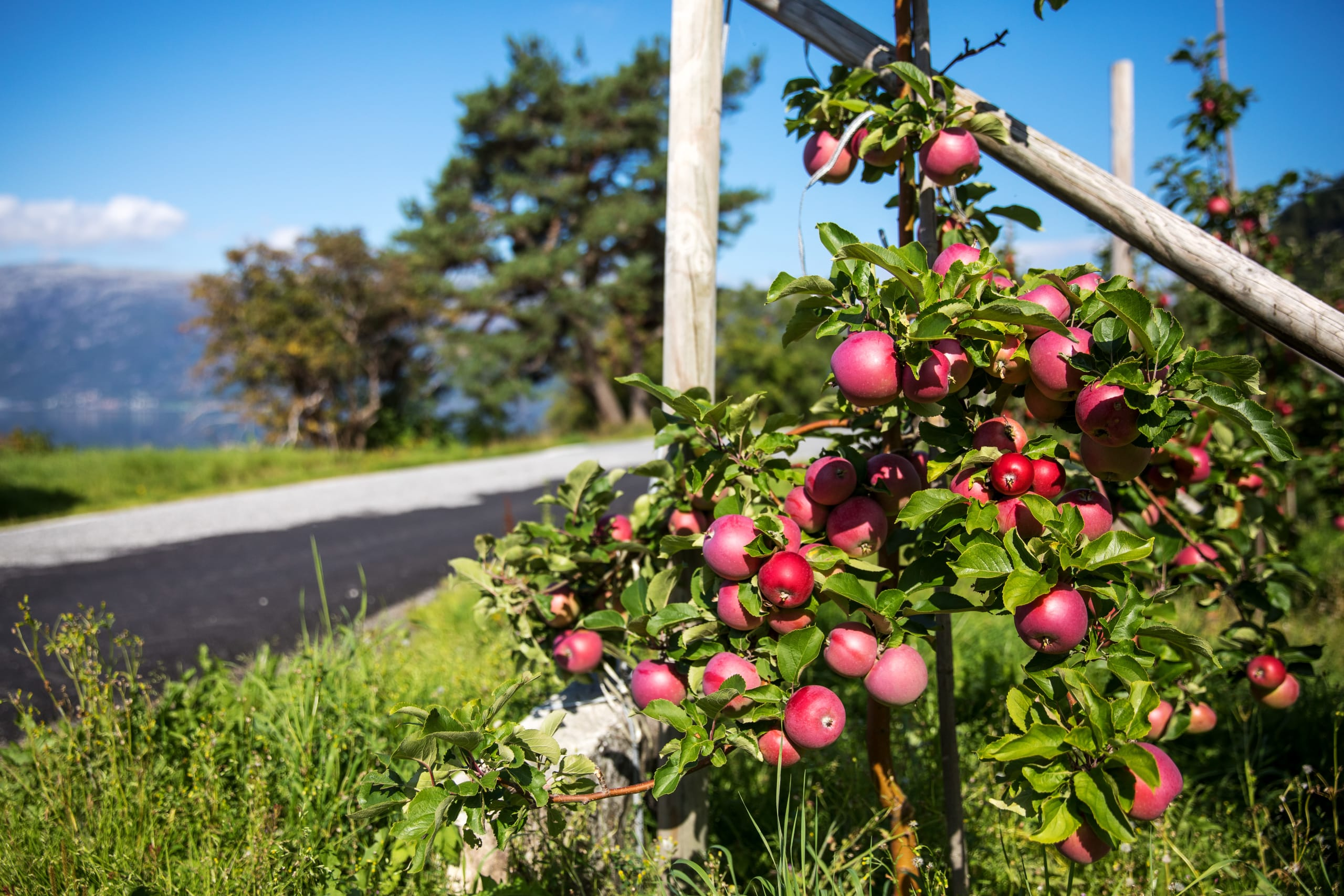 Apple trees close to the road along Hardangerfjord