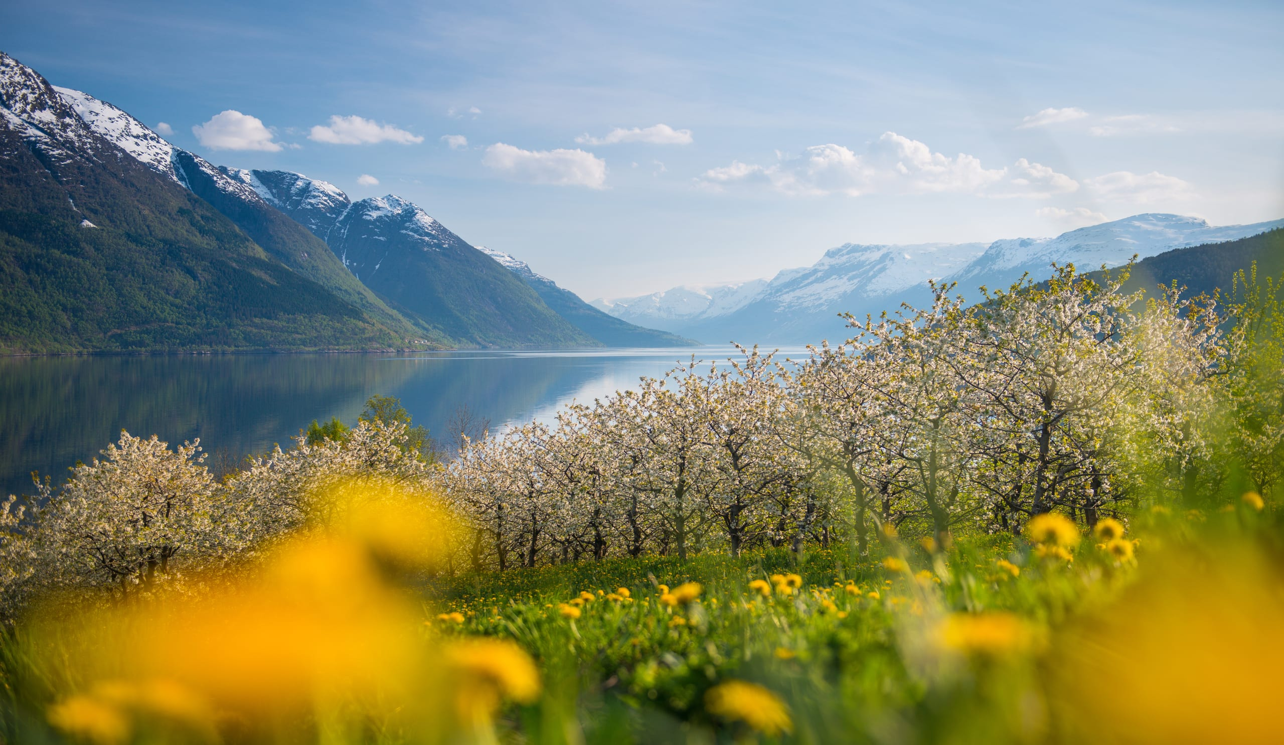 Fruit orchards by the Hardangerfjord