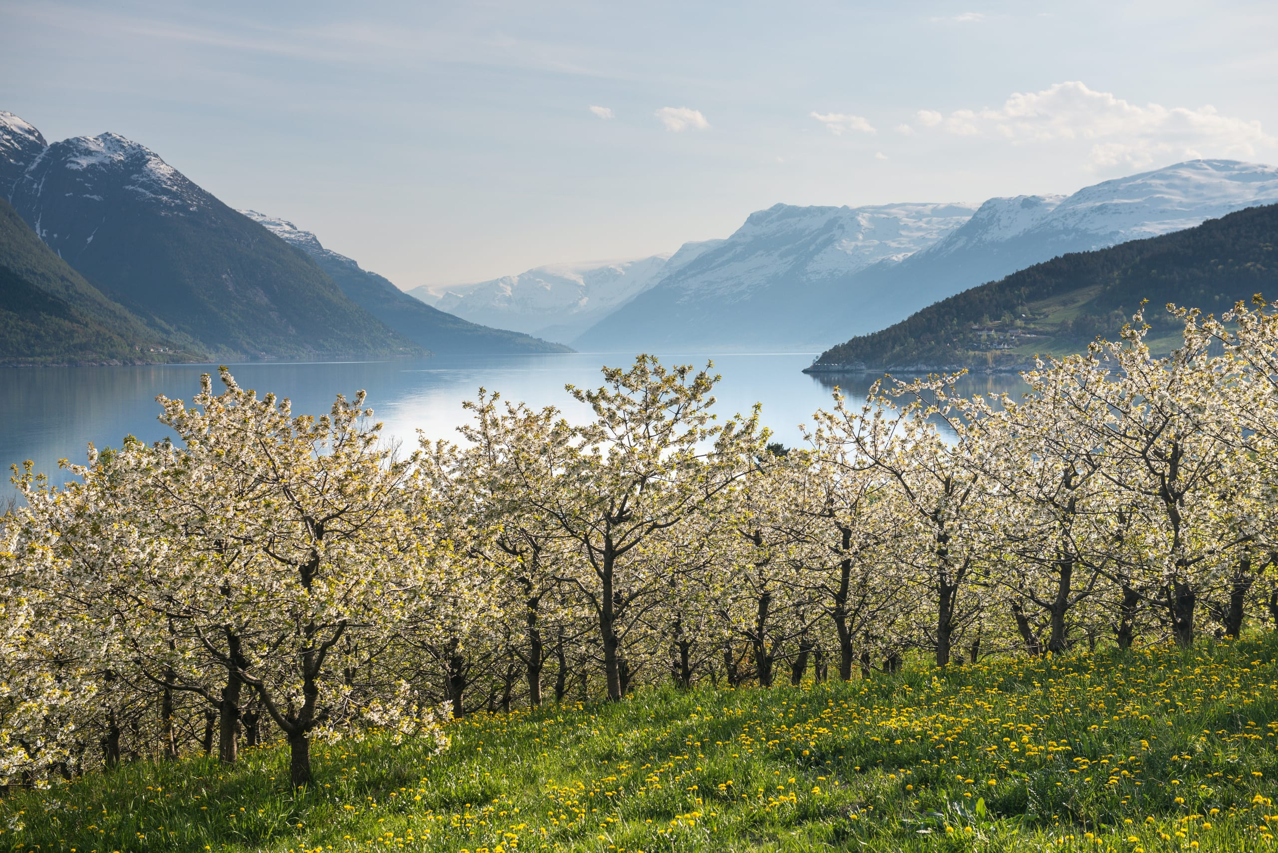 Fruit orchards along the Hardangerfjord