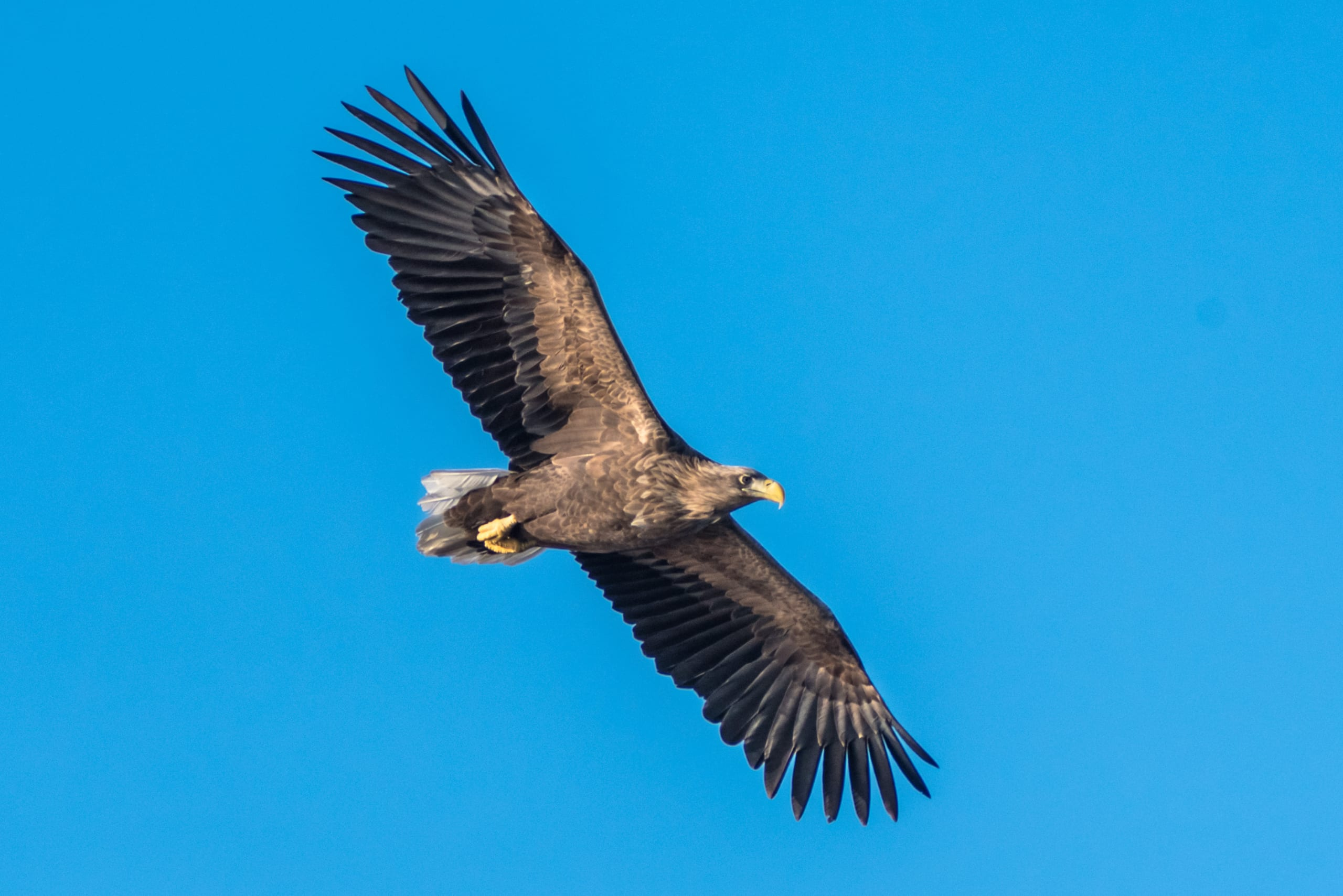 A Norwegian Sea Eagle