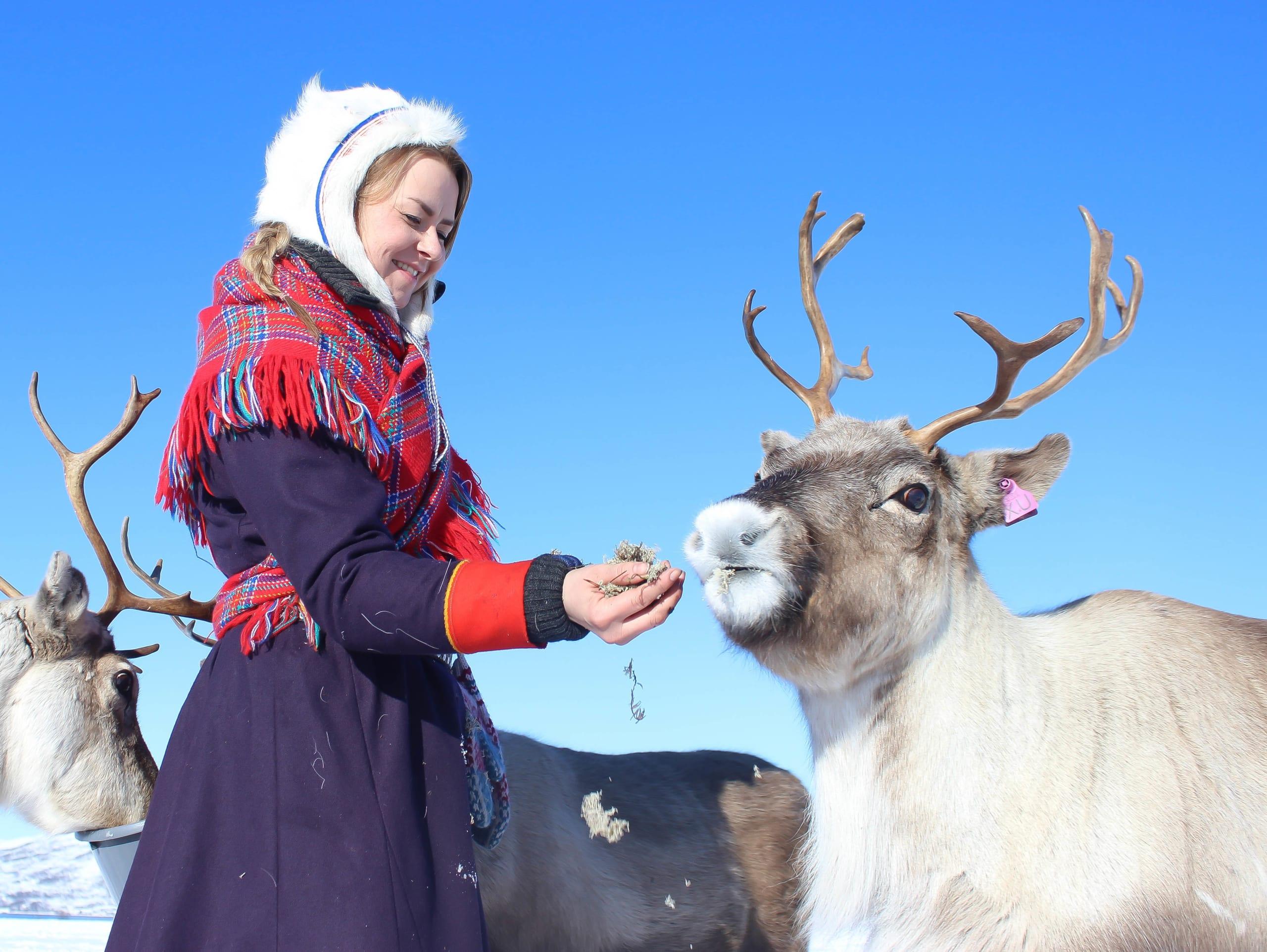Sami woman feeding Arctic Reindeer