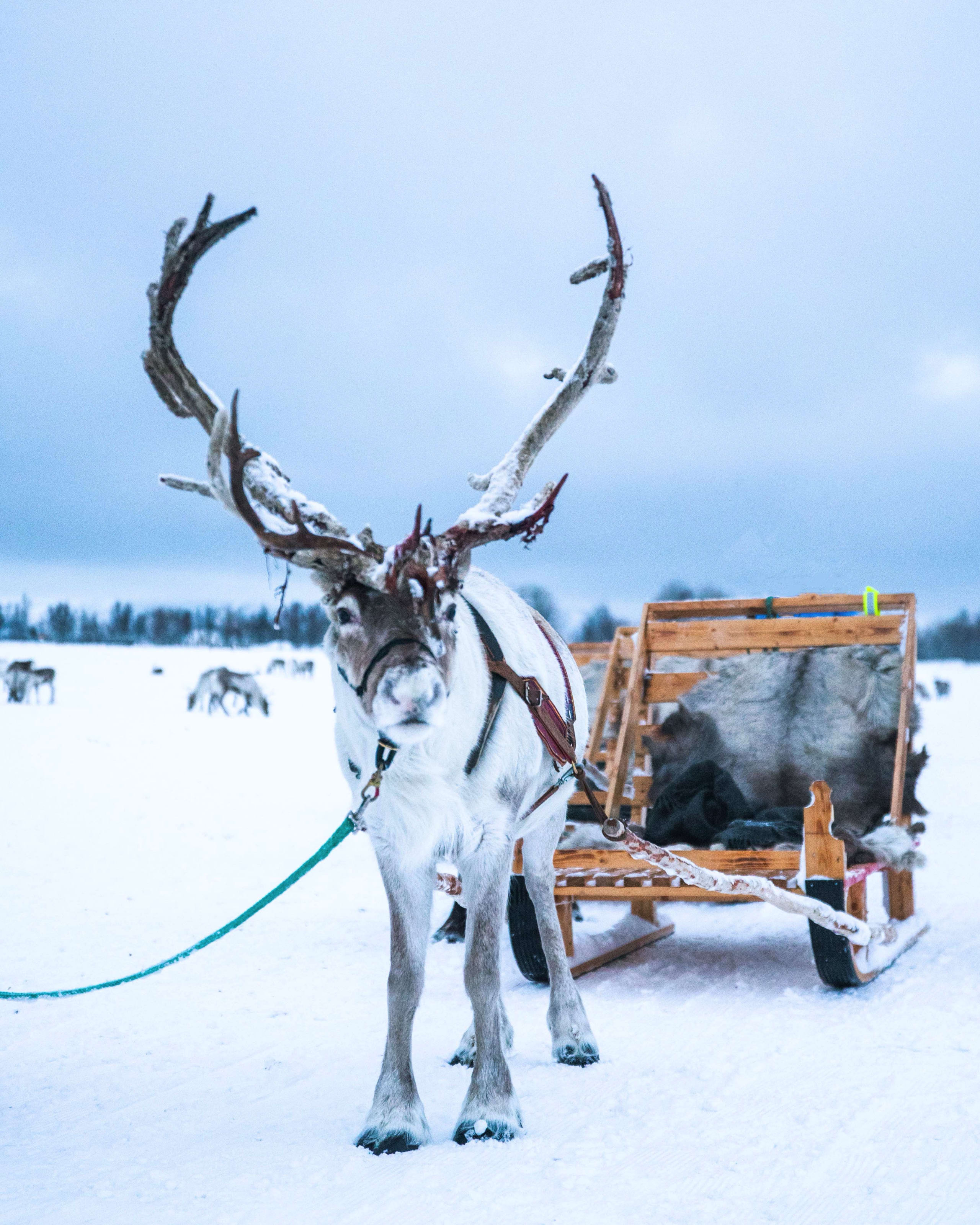 Arctic Reindeer sledding in Tromsø
