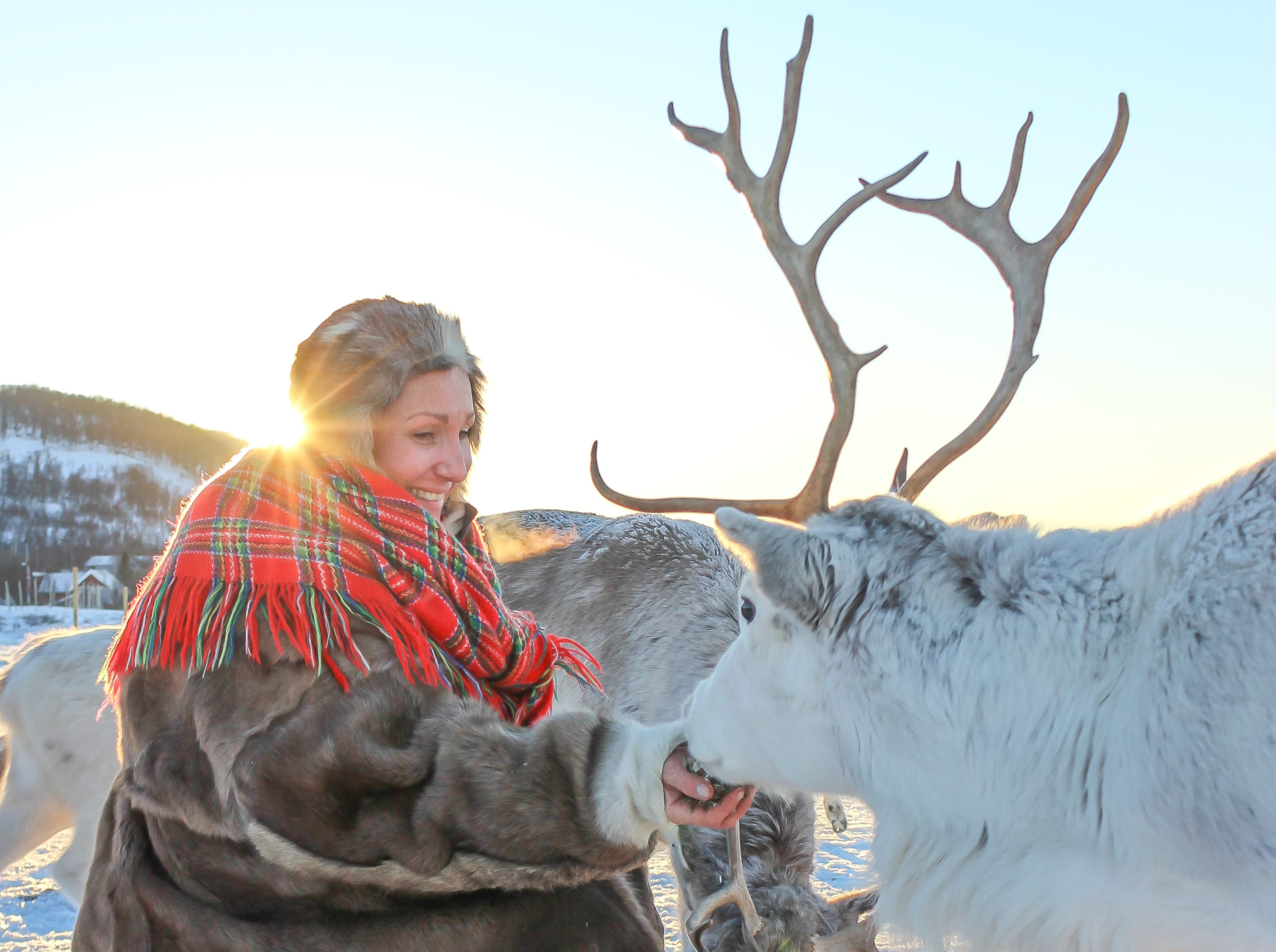Sami woman feeding reindeer in Tromsø