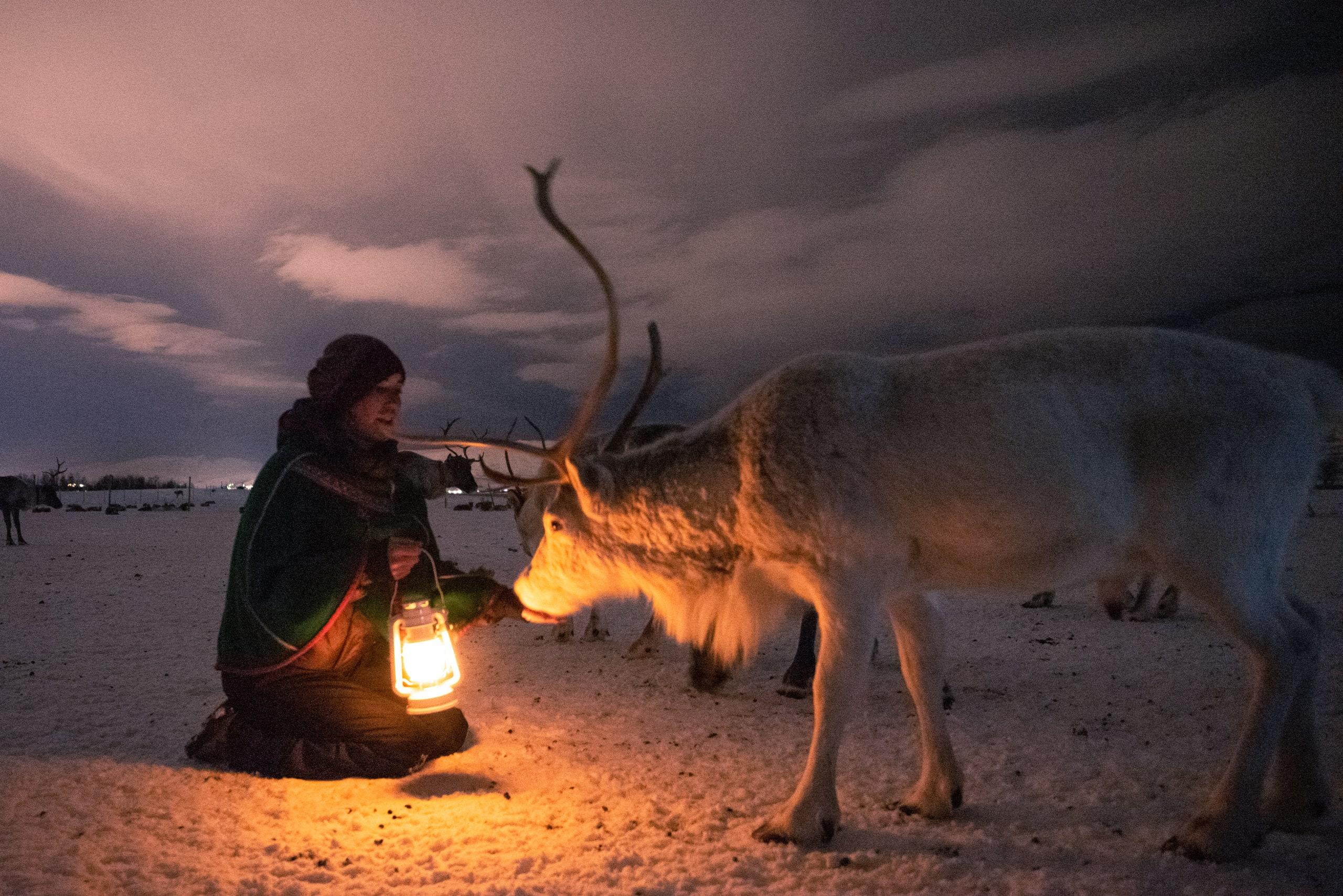 Hand feeding reindeer in Tromsø