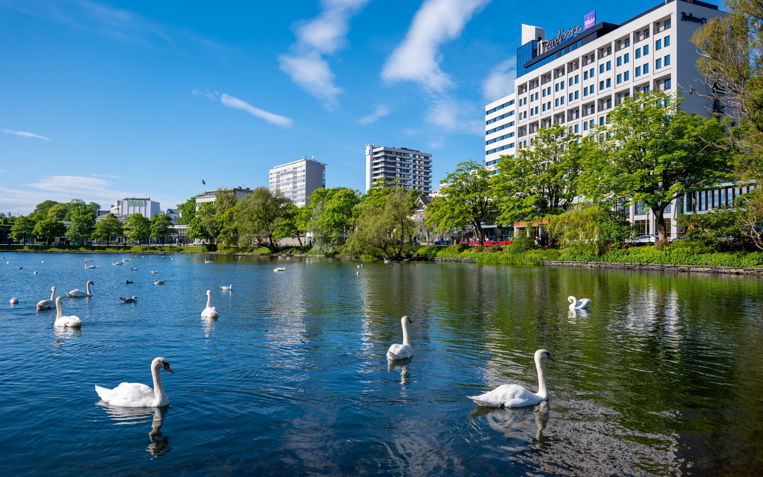 Swans swimming around in Breiavatnet in Stavanger