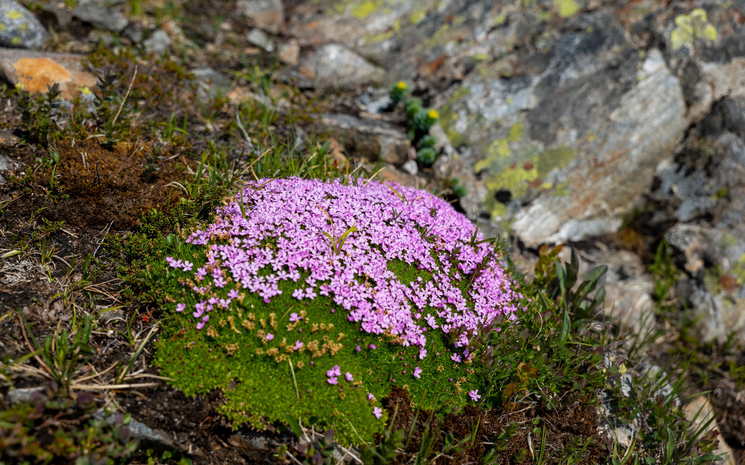 Moss Campion growing in Folgefonna National Park