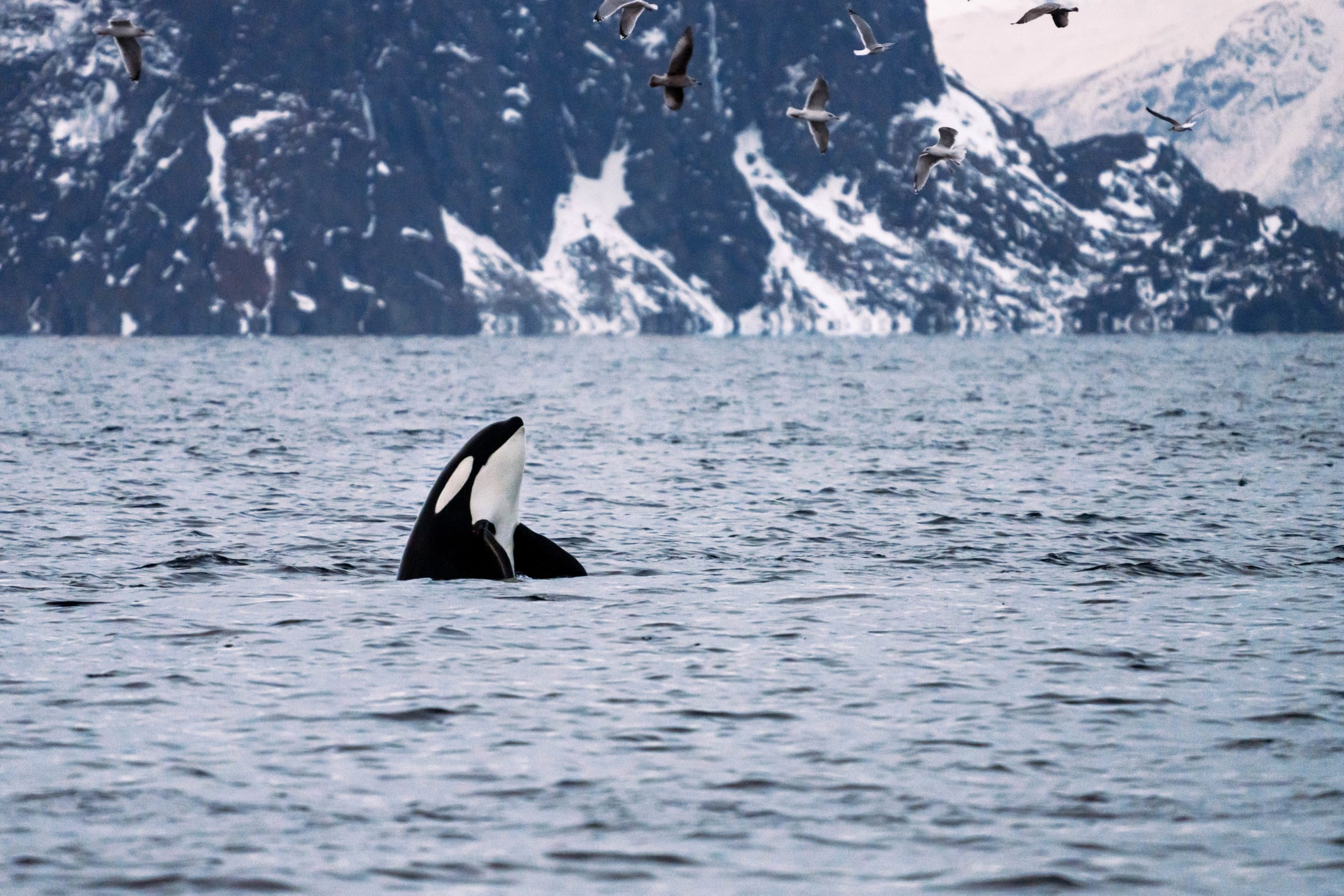 Killer whale playing in the fjords close to Tromsø