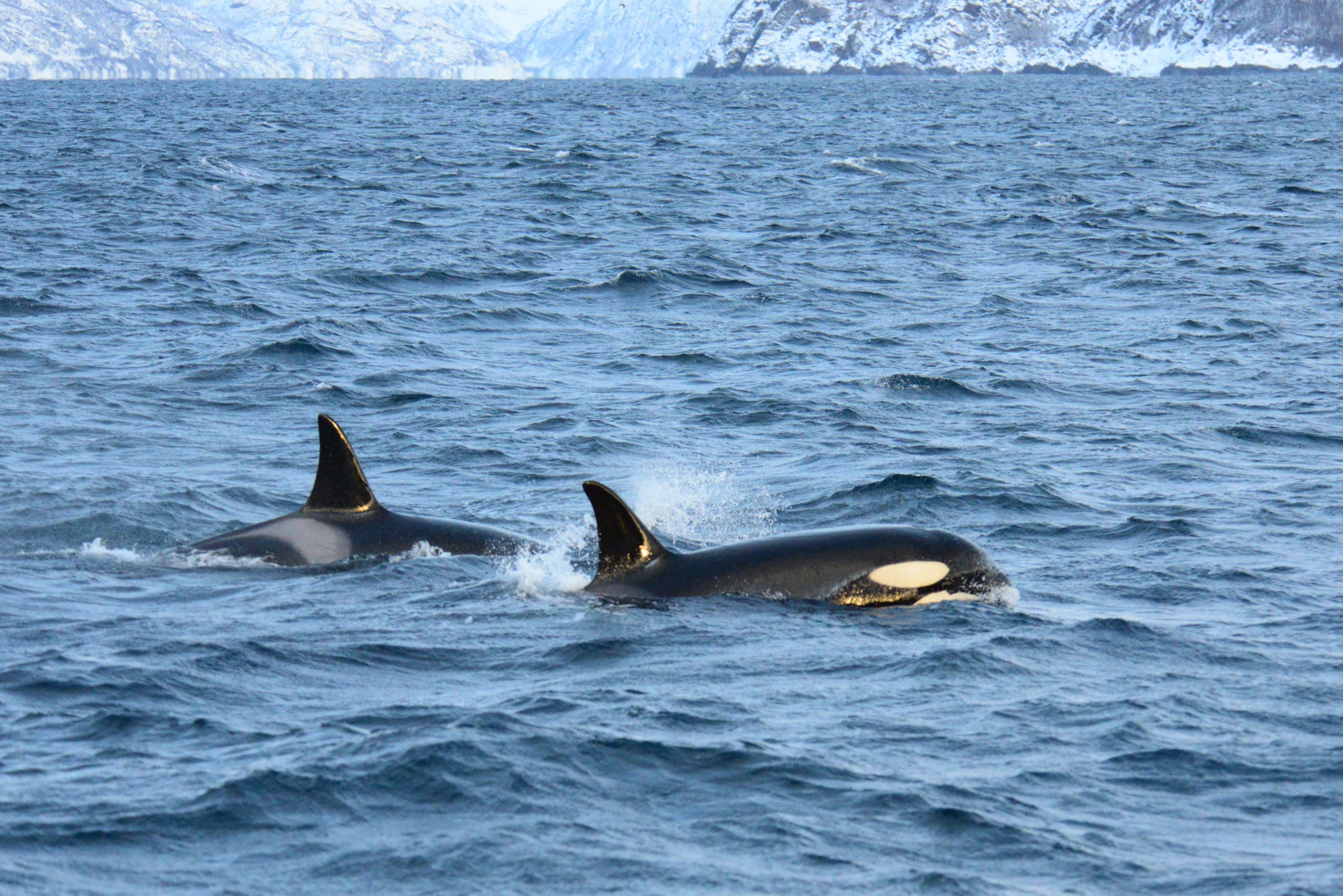 Killer whales close to Tromsø