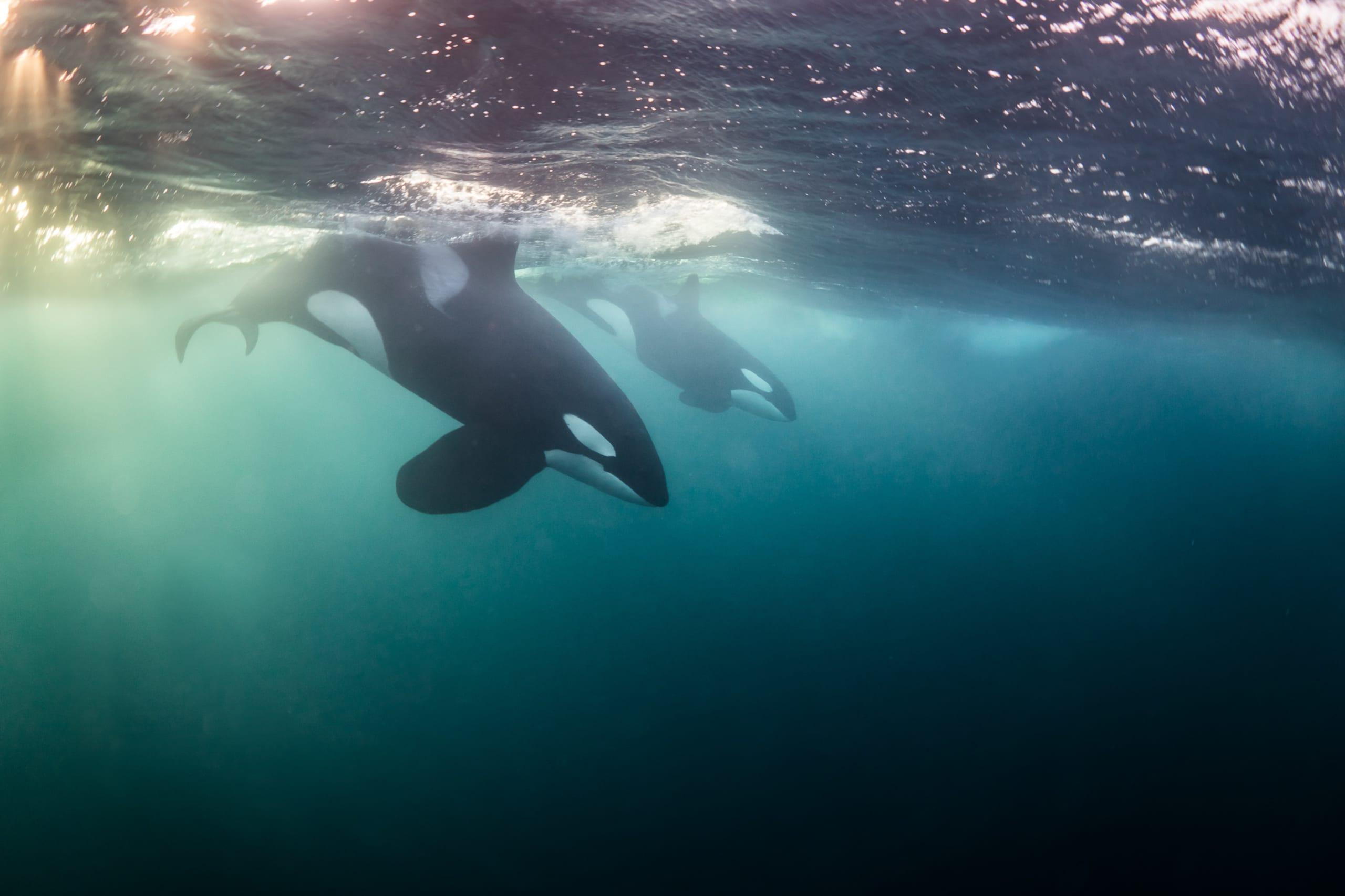 Killer whales hunting in the Tromsø fjords