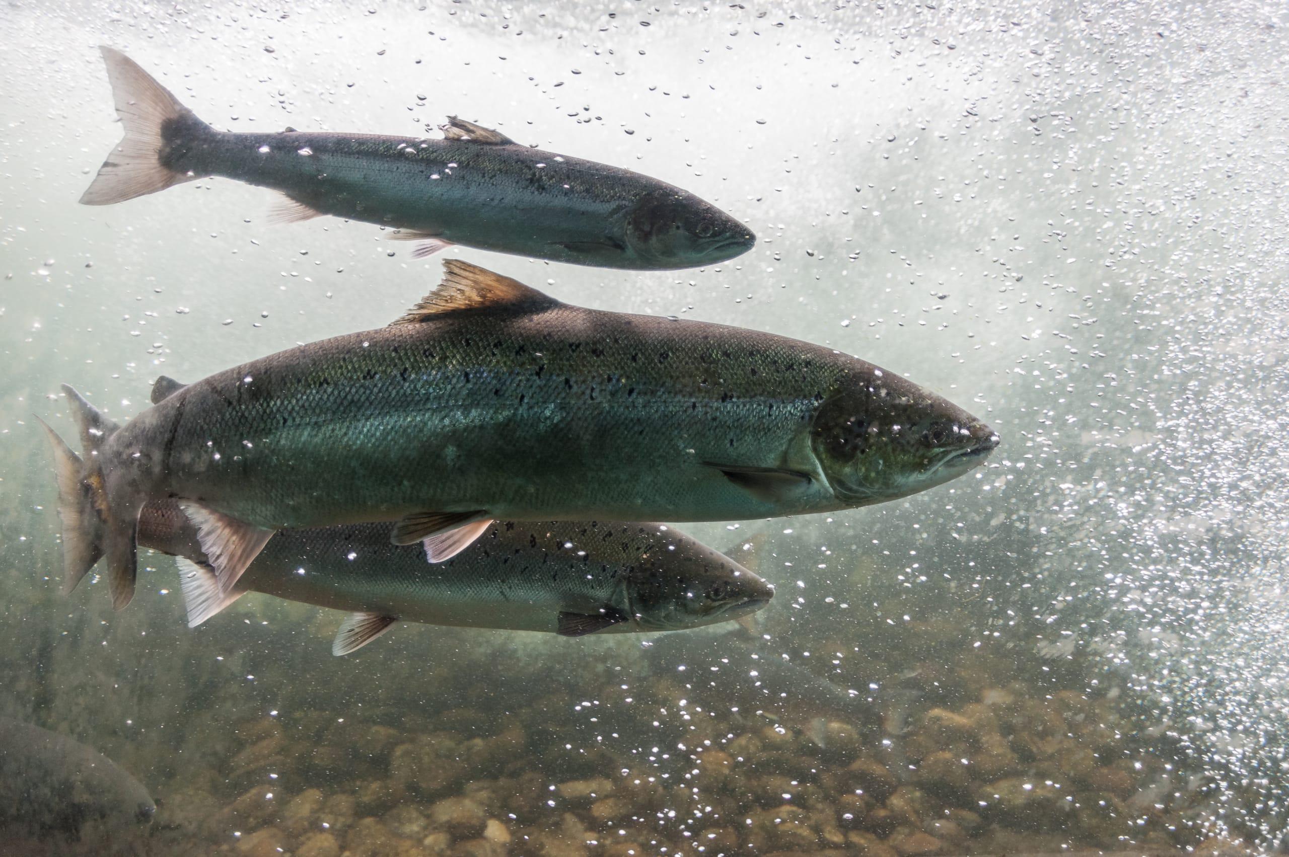 Norwegian salmon swimming upstream