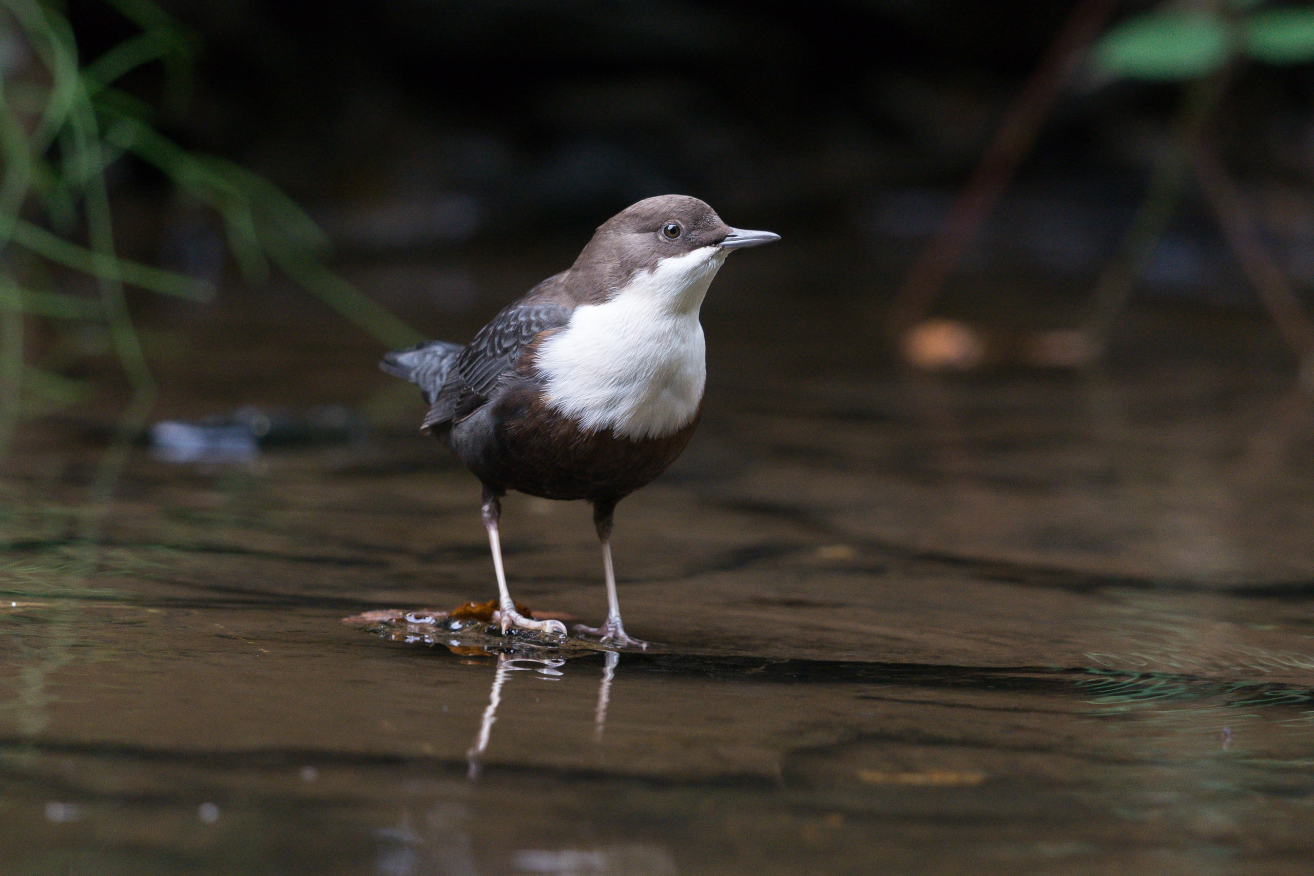 white-throated dipper in a river