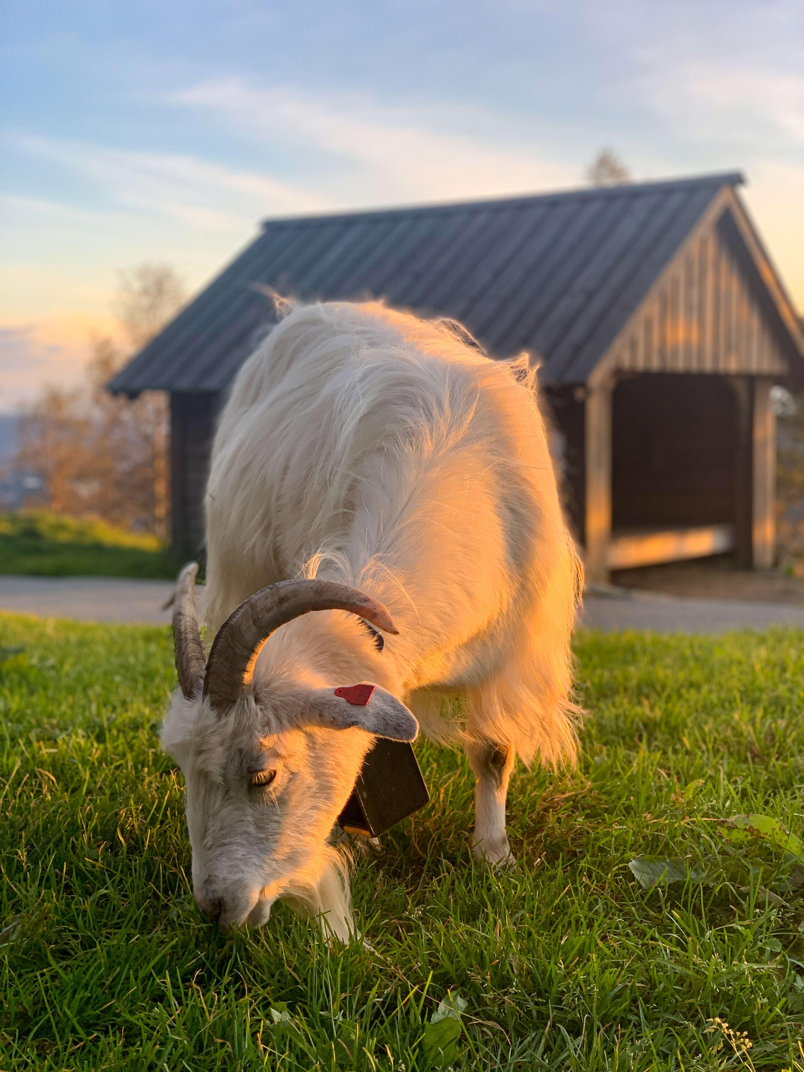 One of Fløyen guttene goats