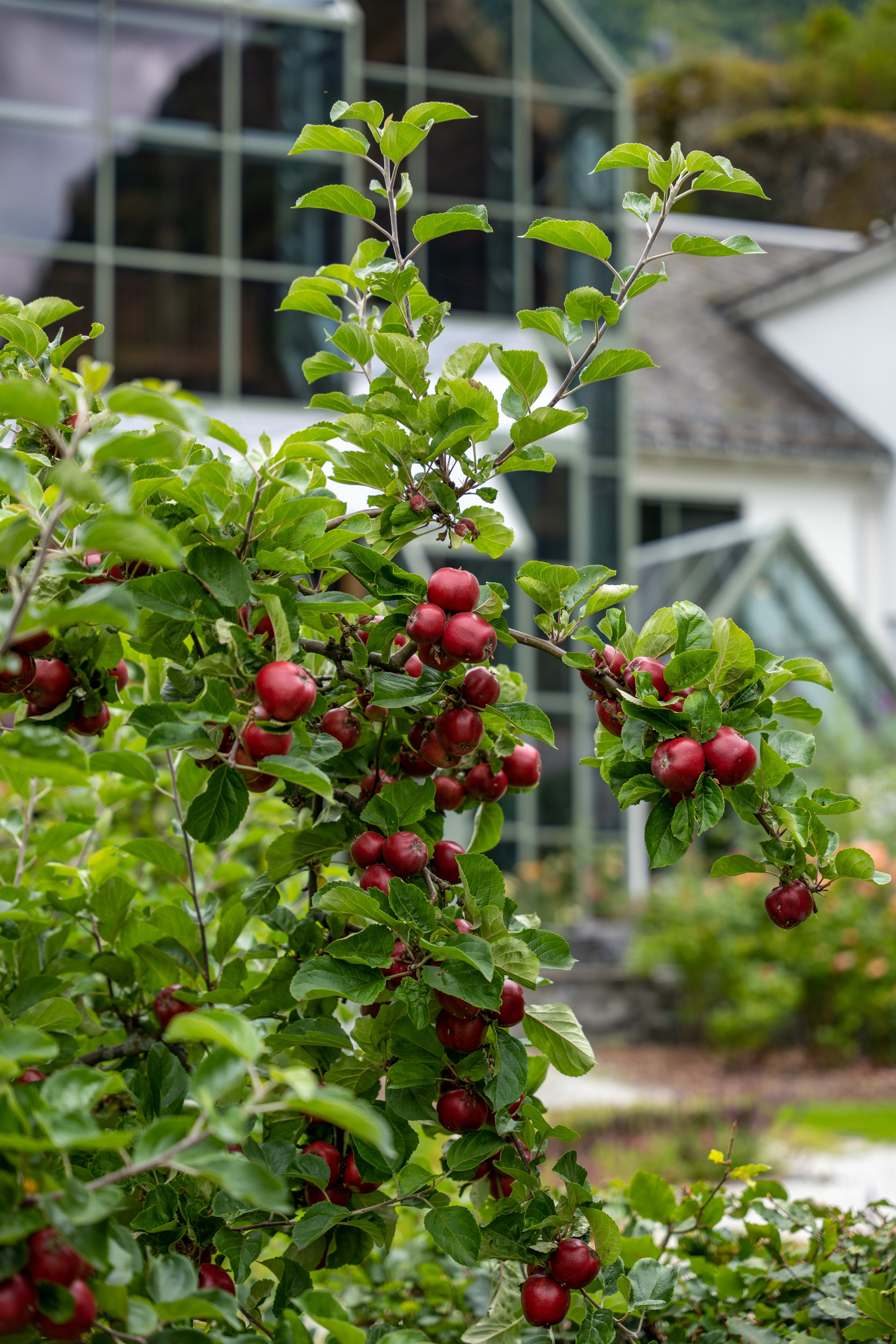 Apple tree outside Fretheim hotel