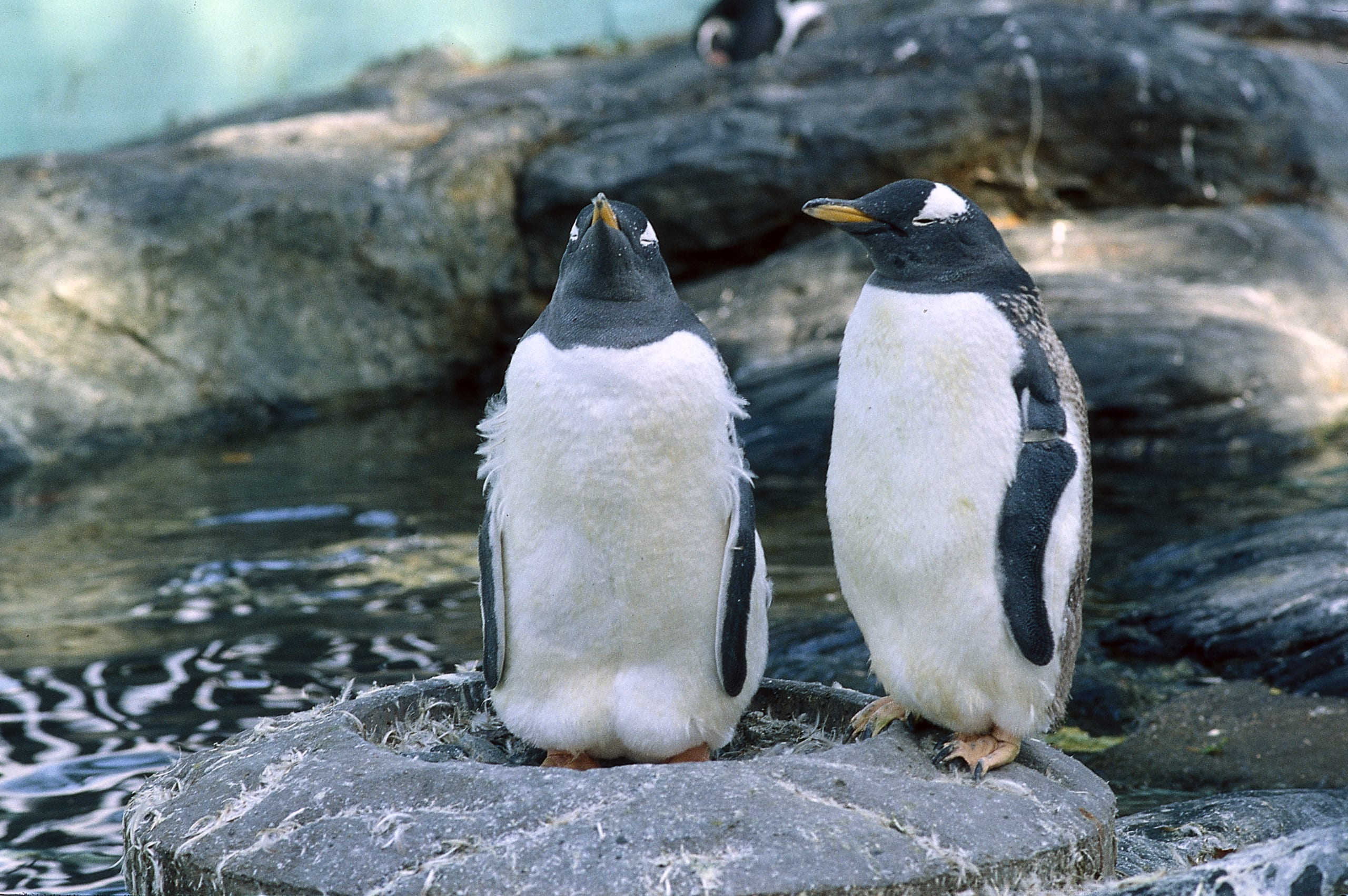 Penguins in the Aquarium in Bergen