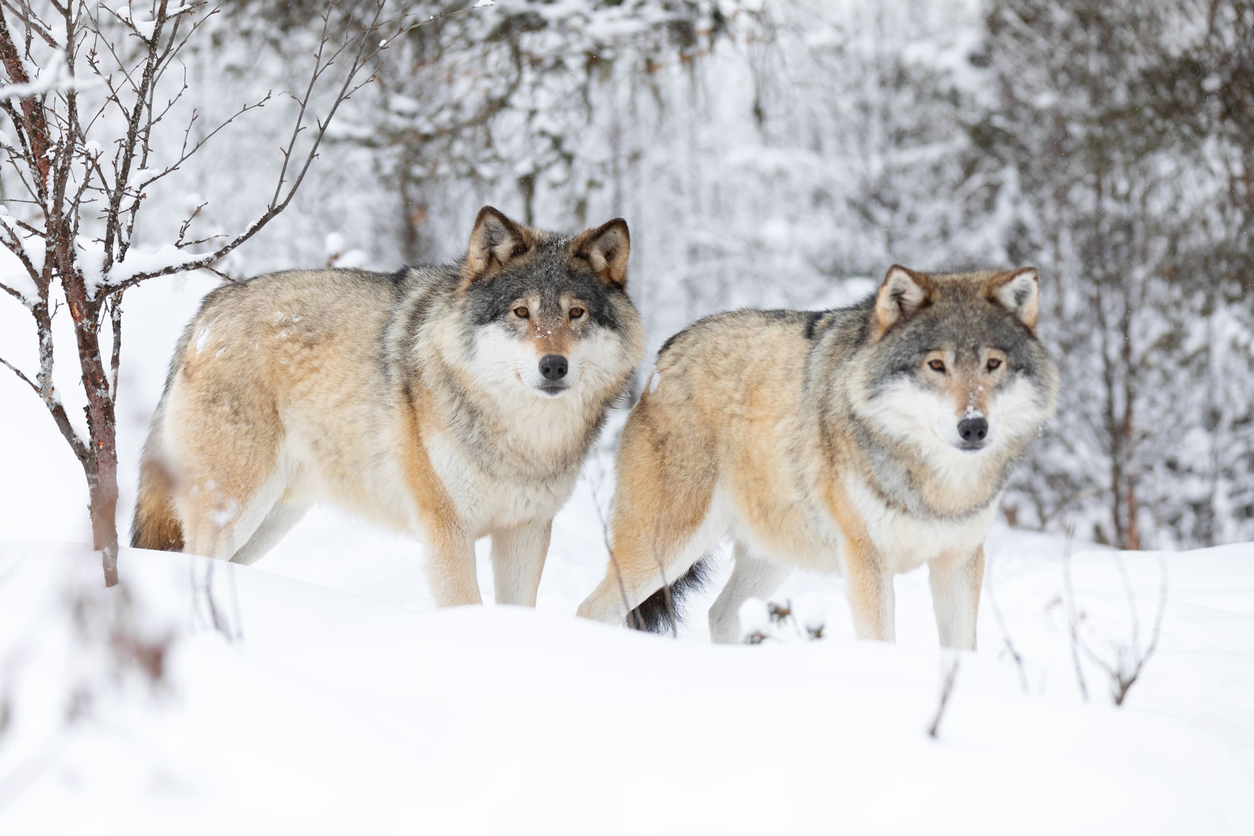 Two Norwegian wolfs up to no good