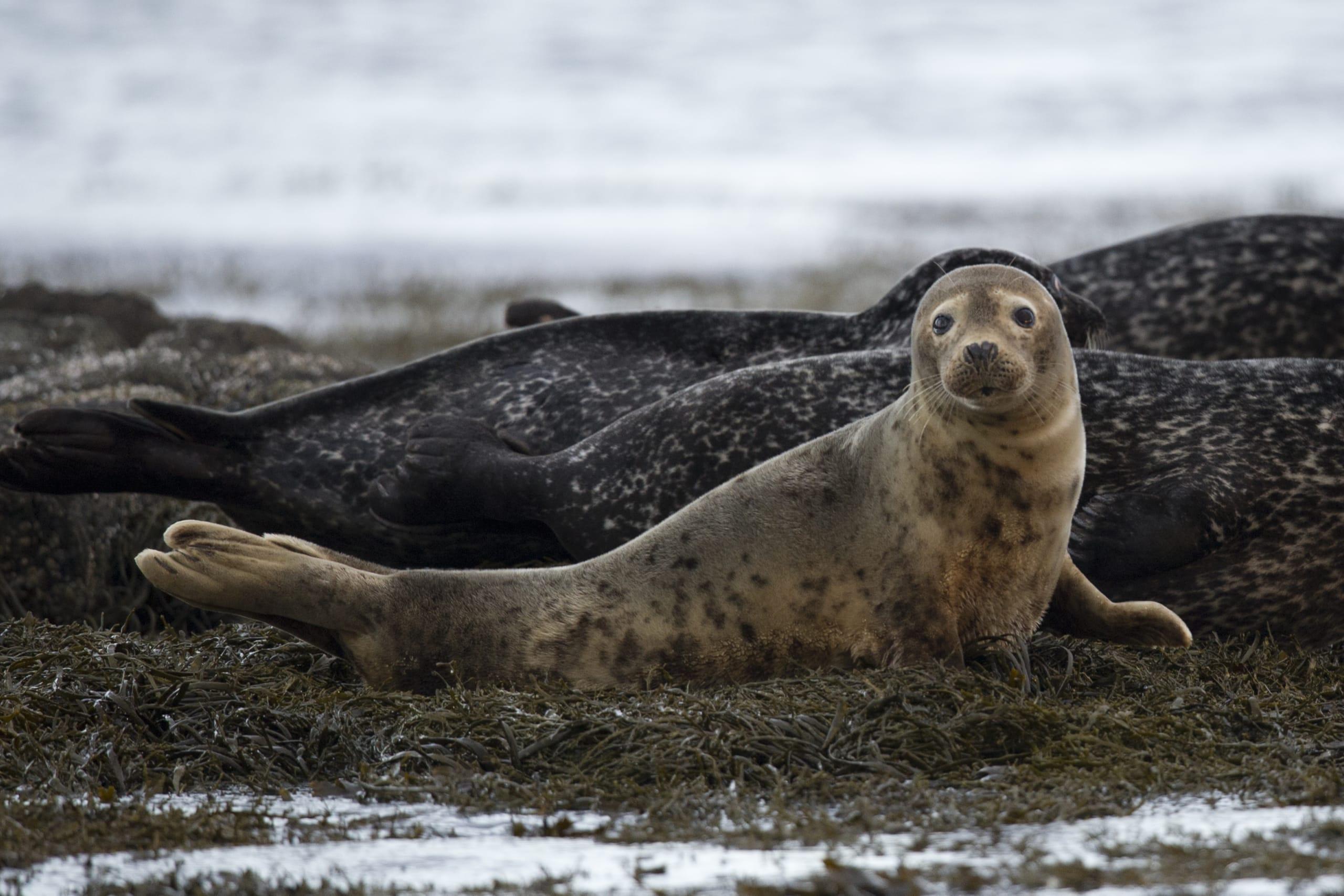 Norwegian grey seal having a good time