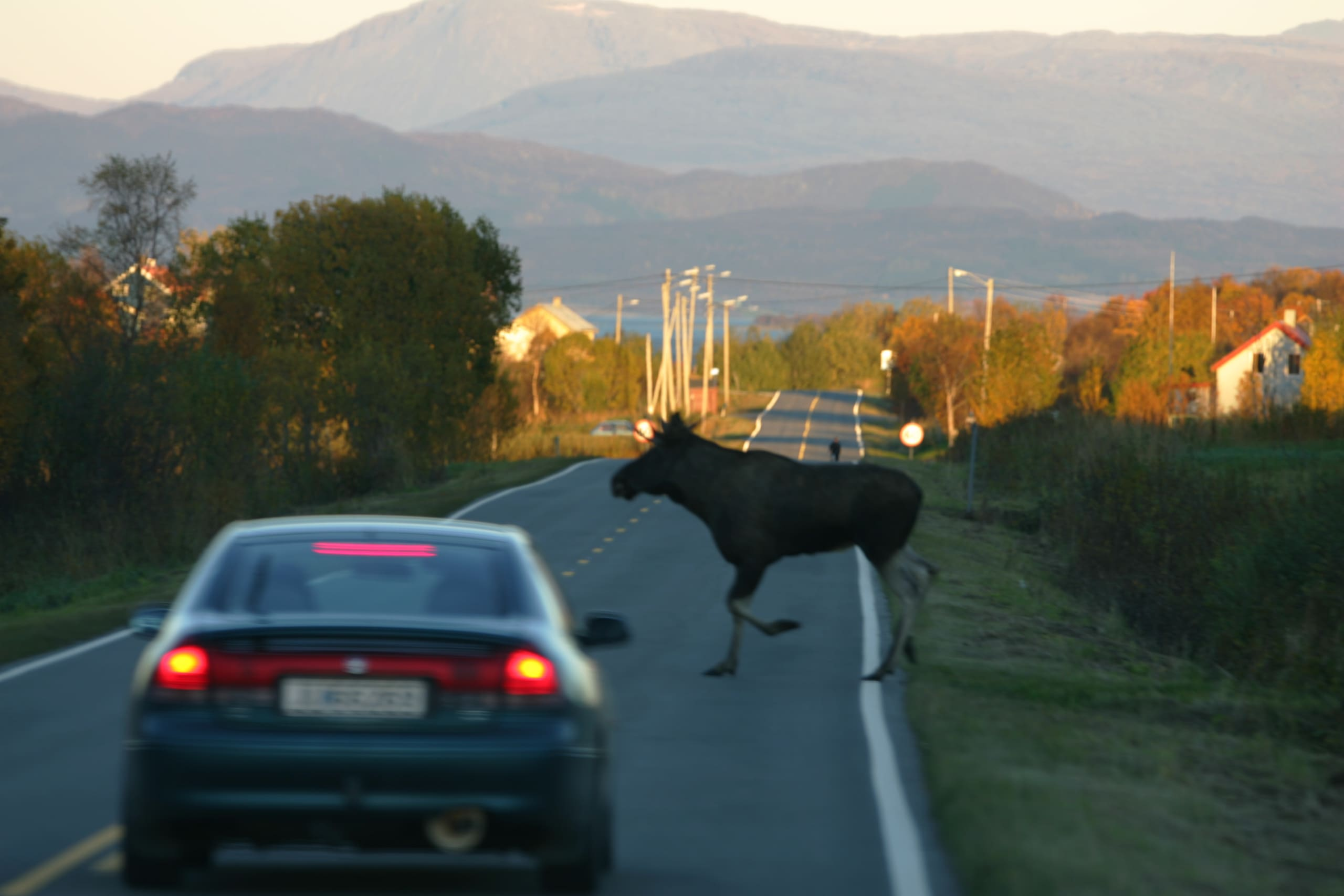 Moose runs across the road in front of car