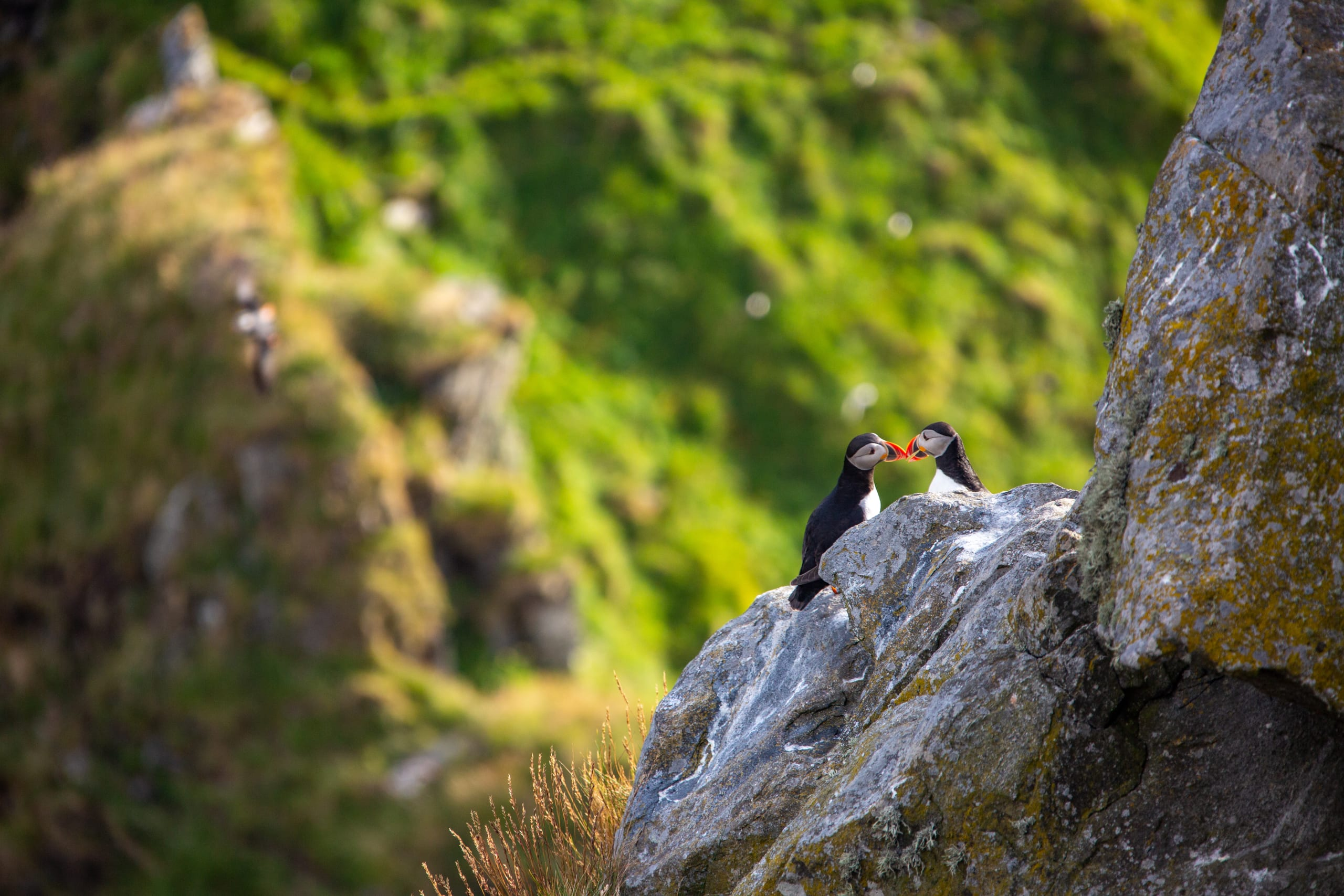 Puffins on the cliffside of Runde Island