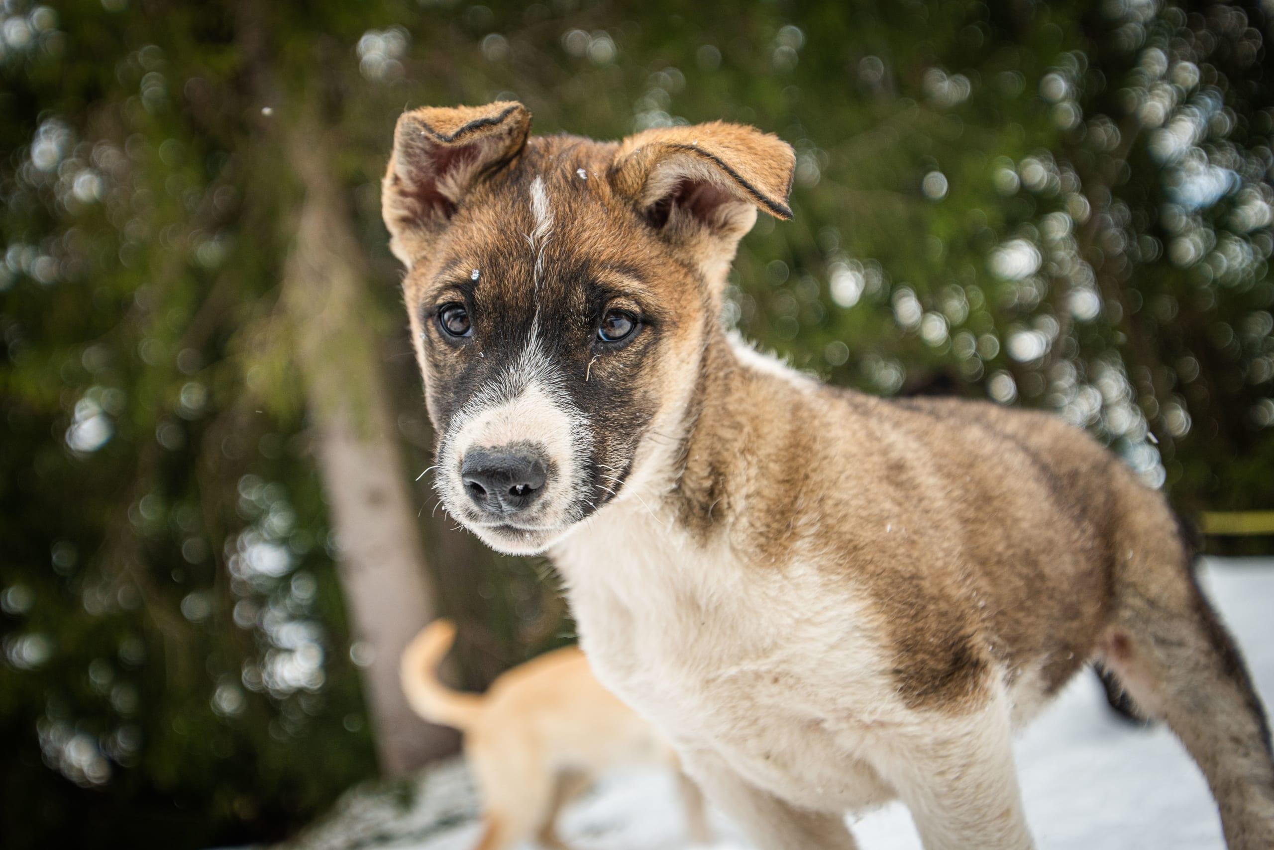 Cute husky puppy at Beitostølen