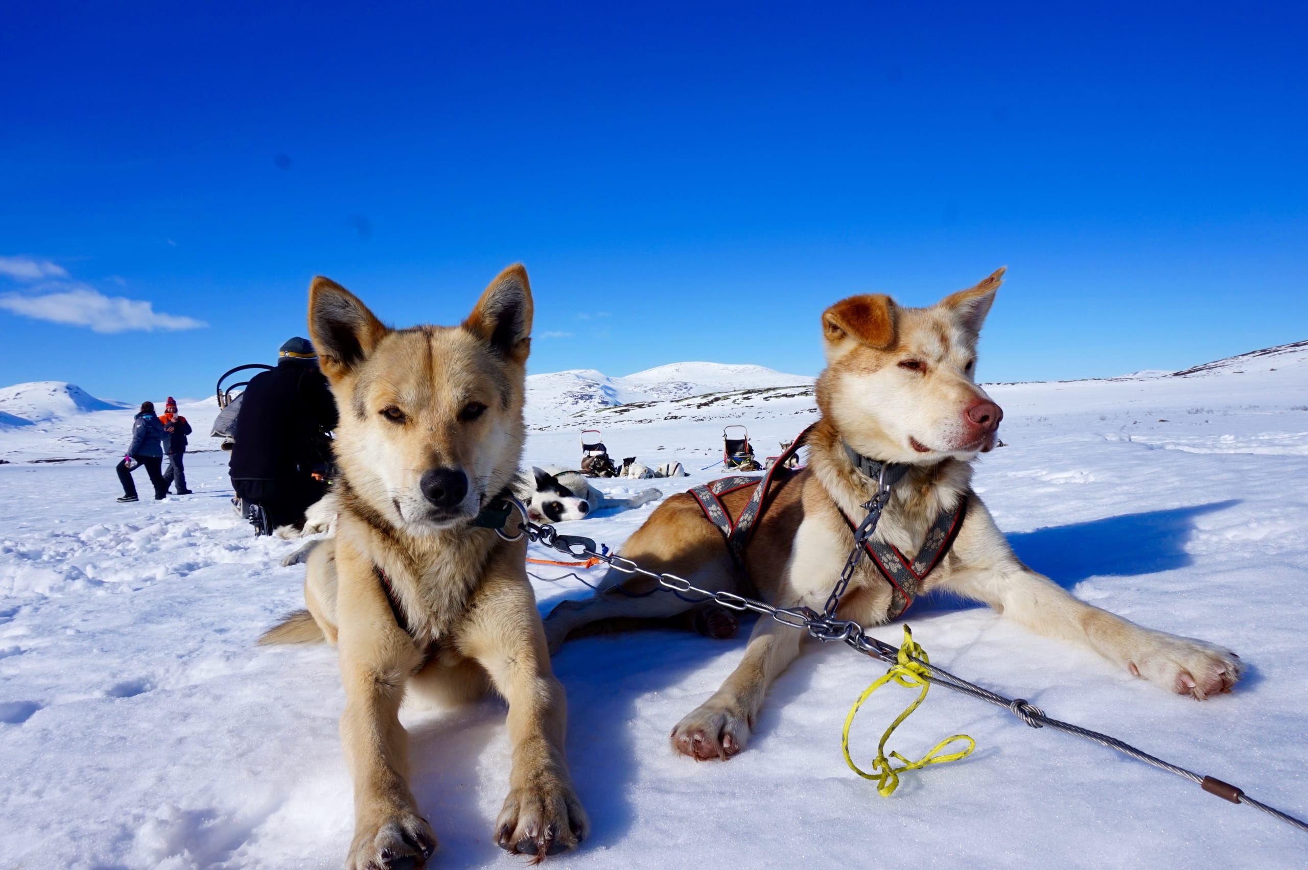 Huskies taking a rest after a day of sledding