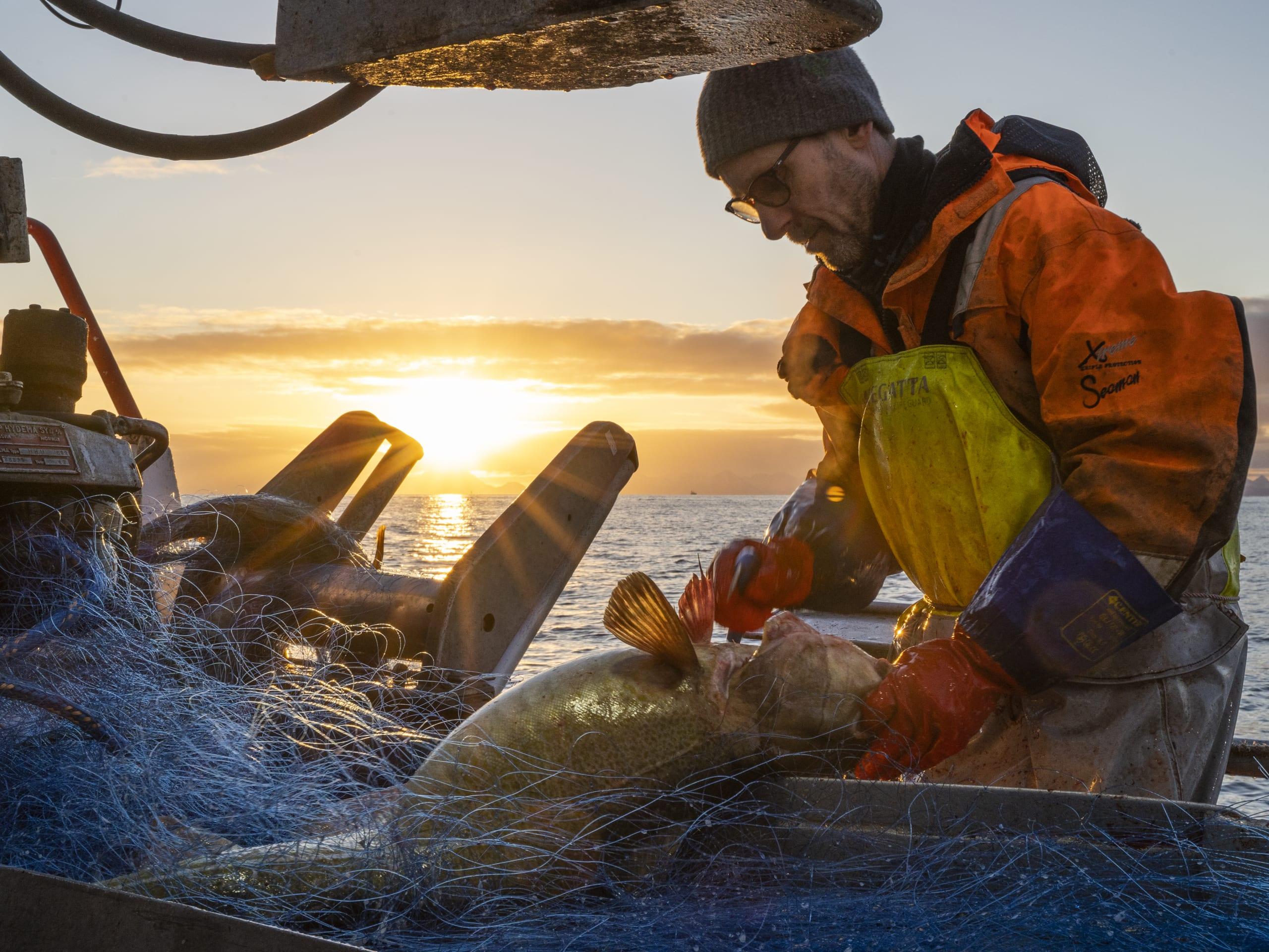 Fishermen gutting Arctic cod in Lofoten