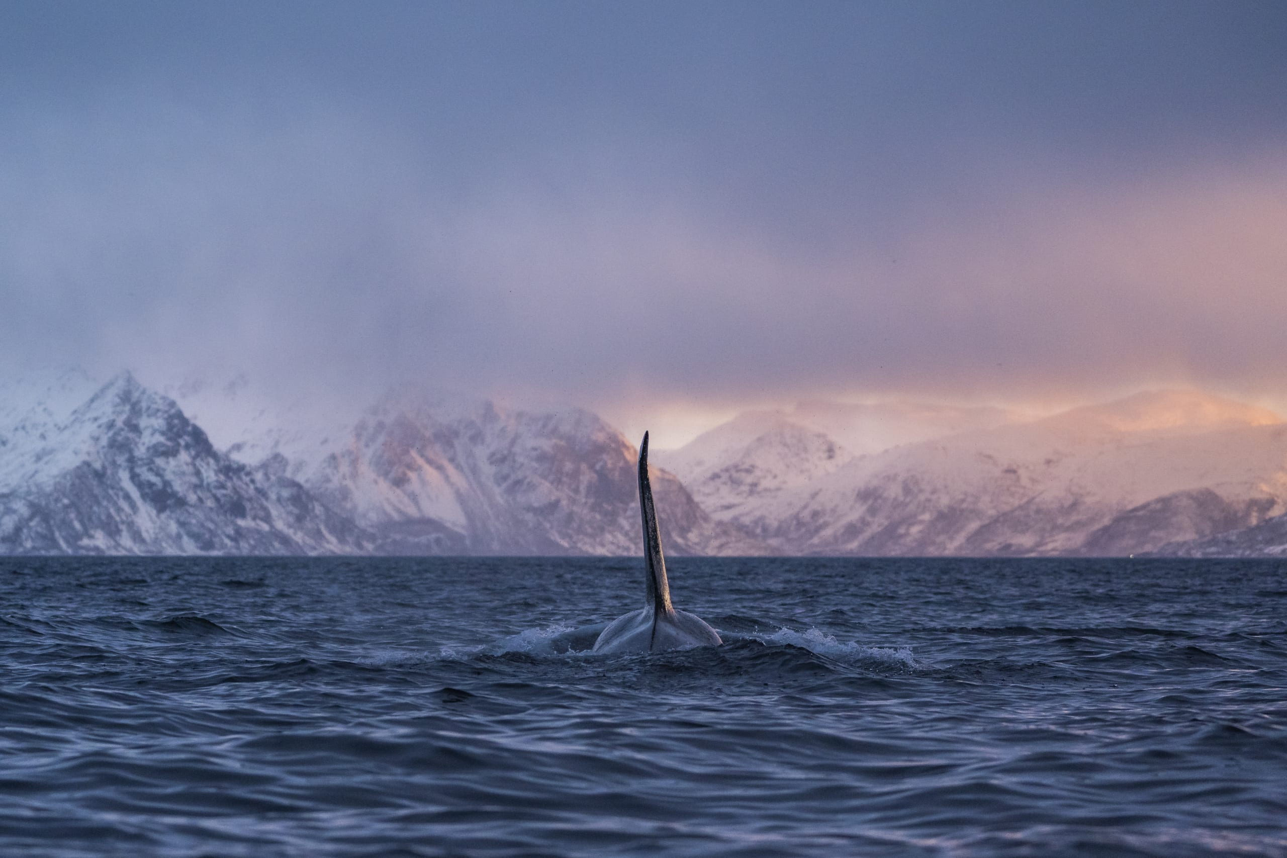 Killer whale in the Arctic Norway