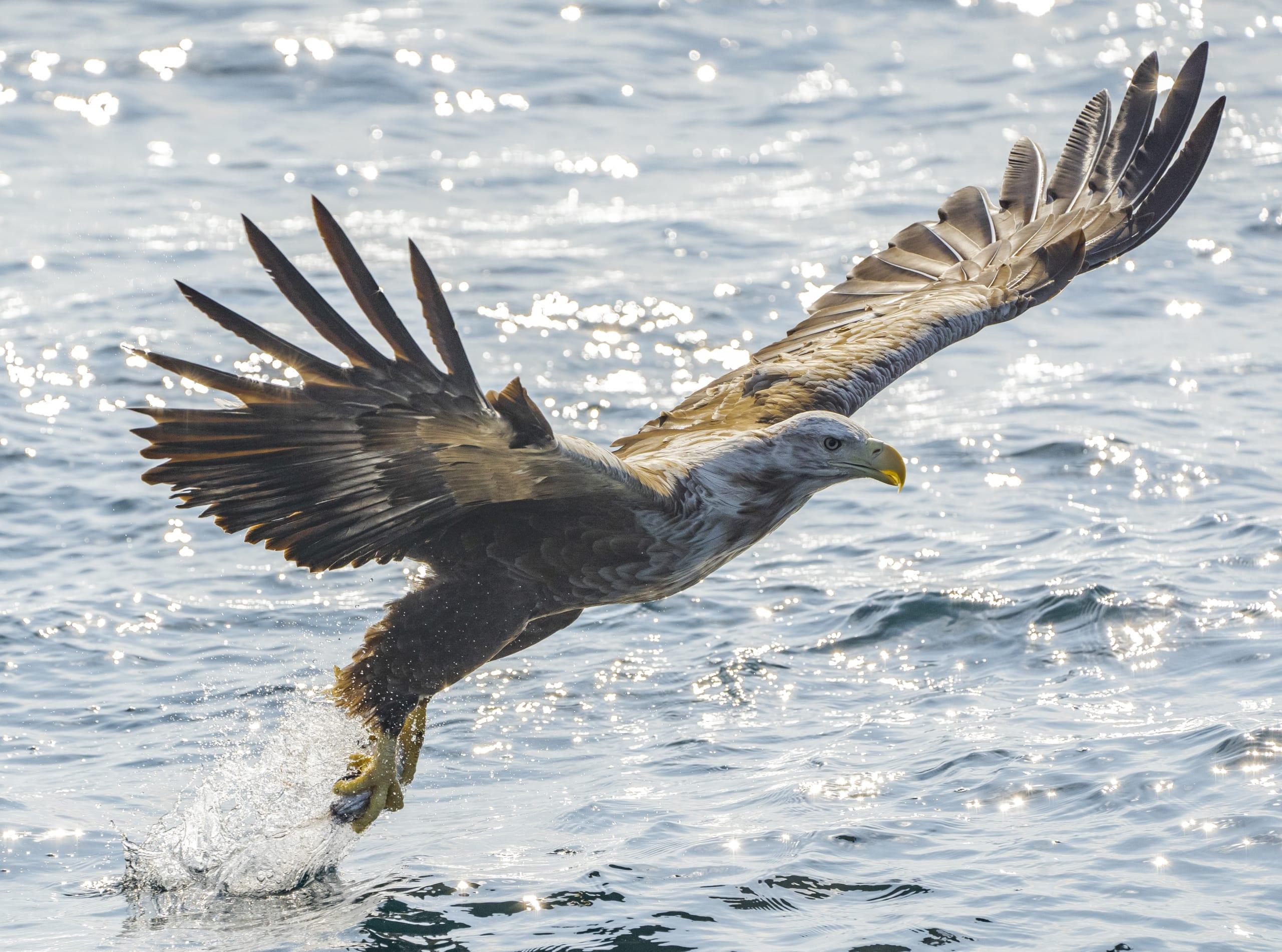 White tailed Sea Eagle in Lofoten