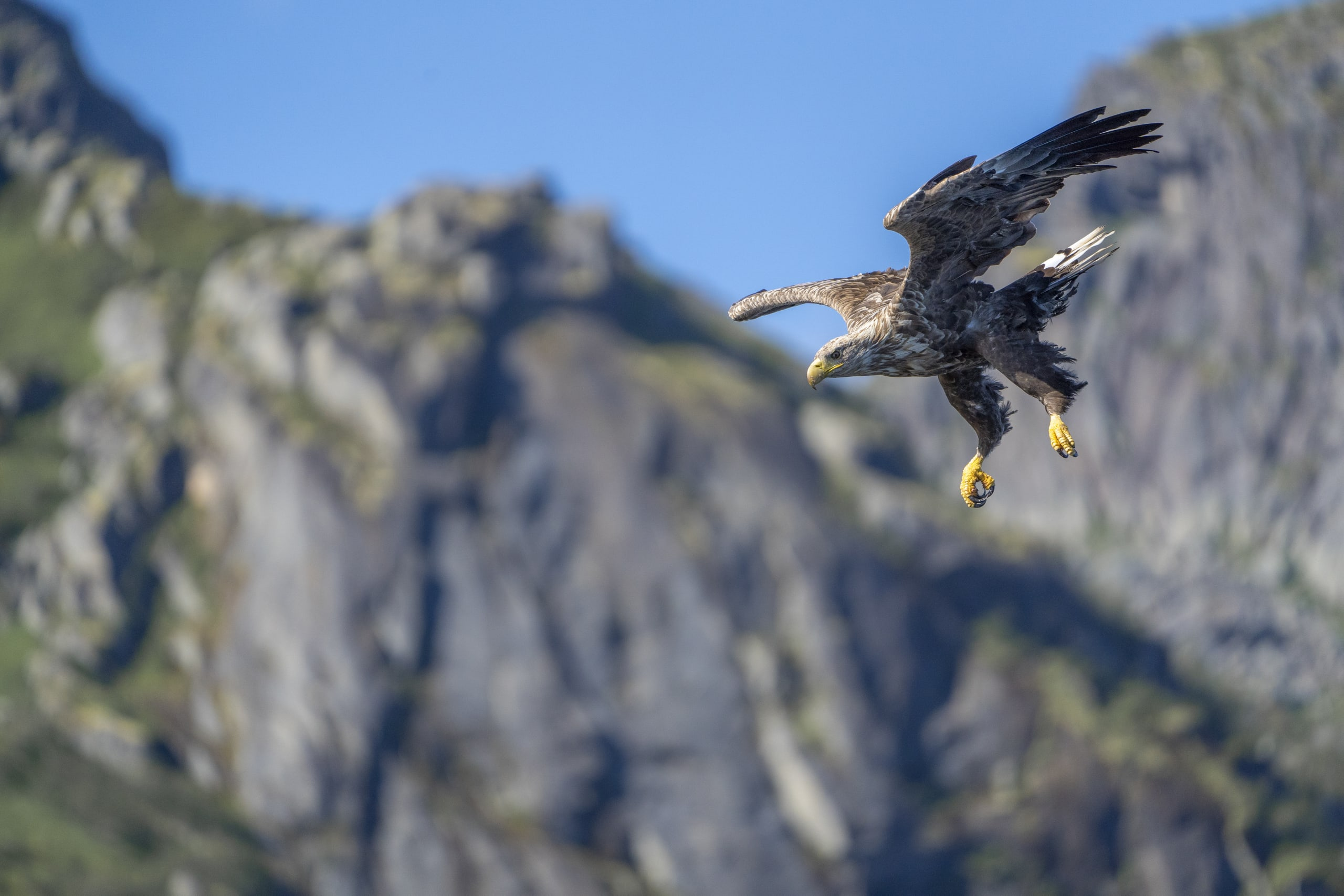 Sea Eagle in Lofoten