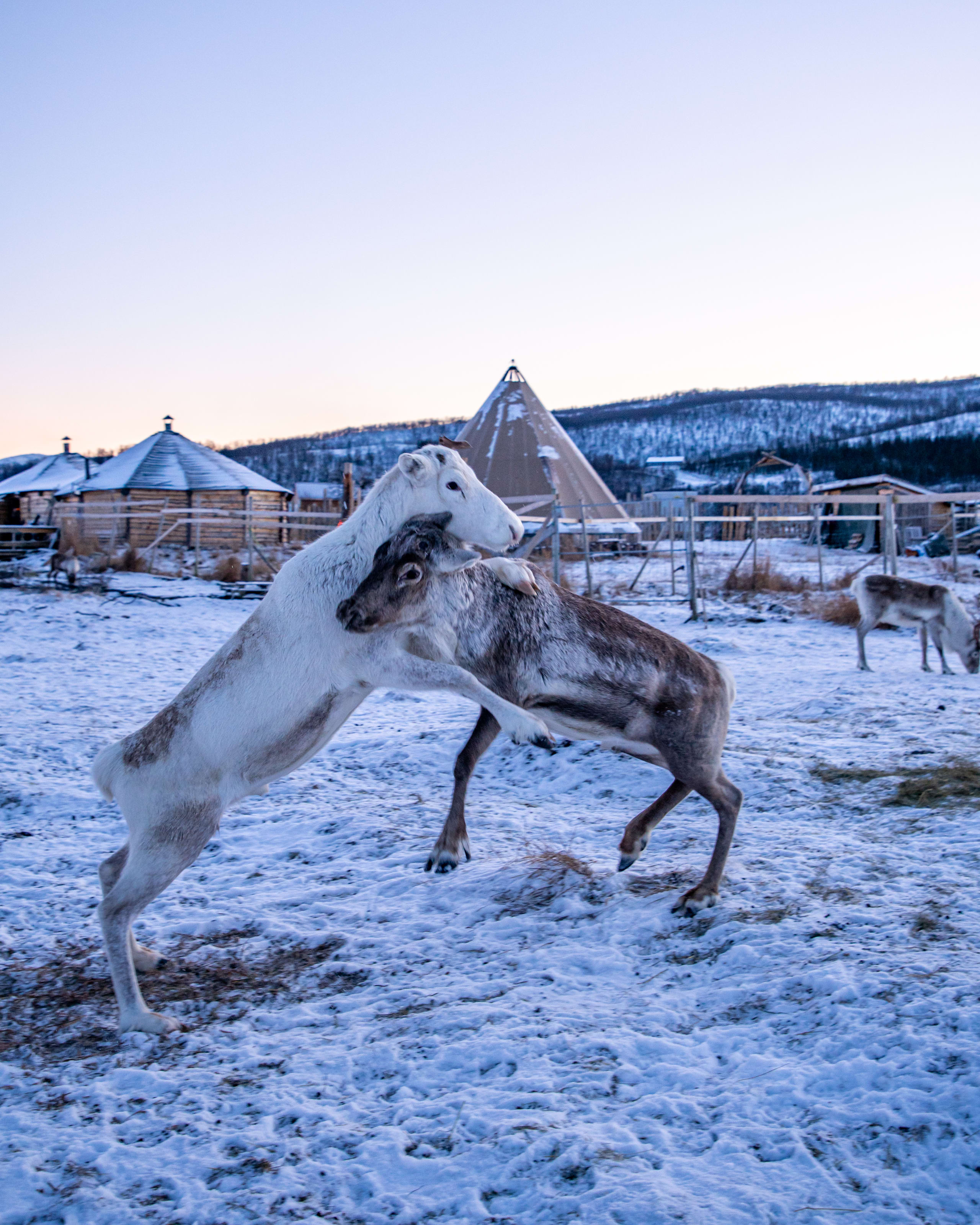 Arctic reindeer playing at the Sami camp in Tromsø
