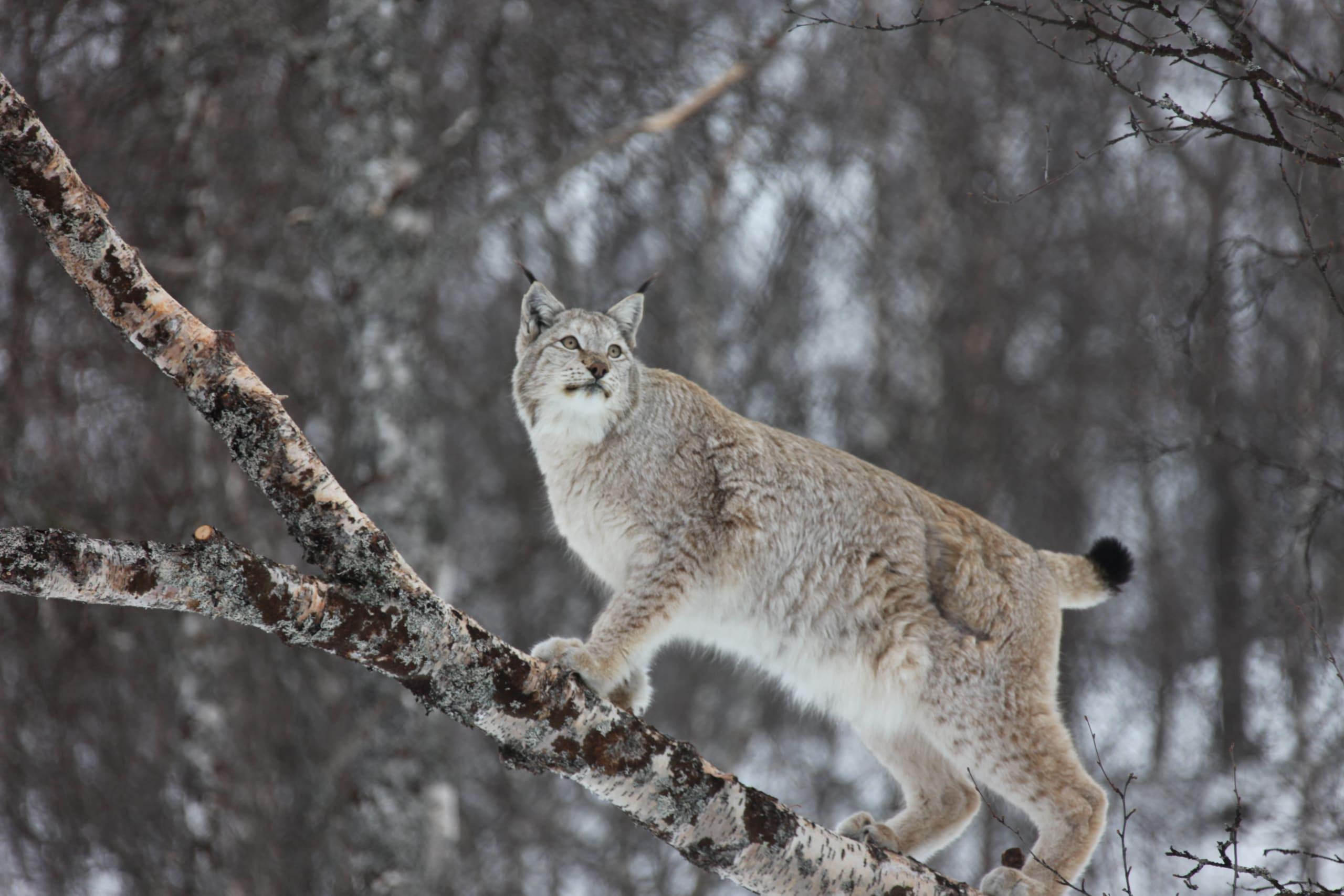 Norwegian Lynx in the woods