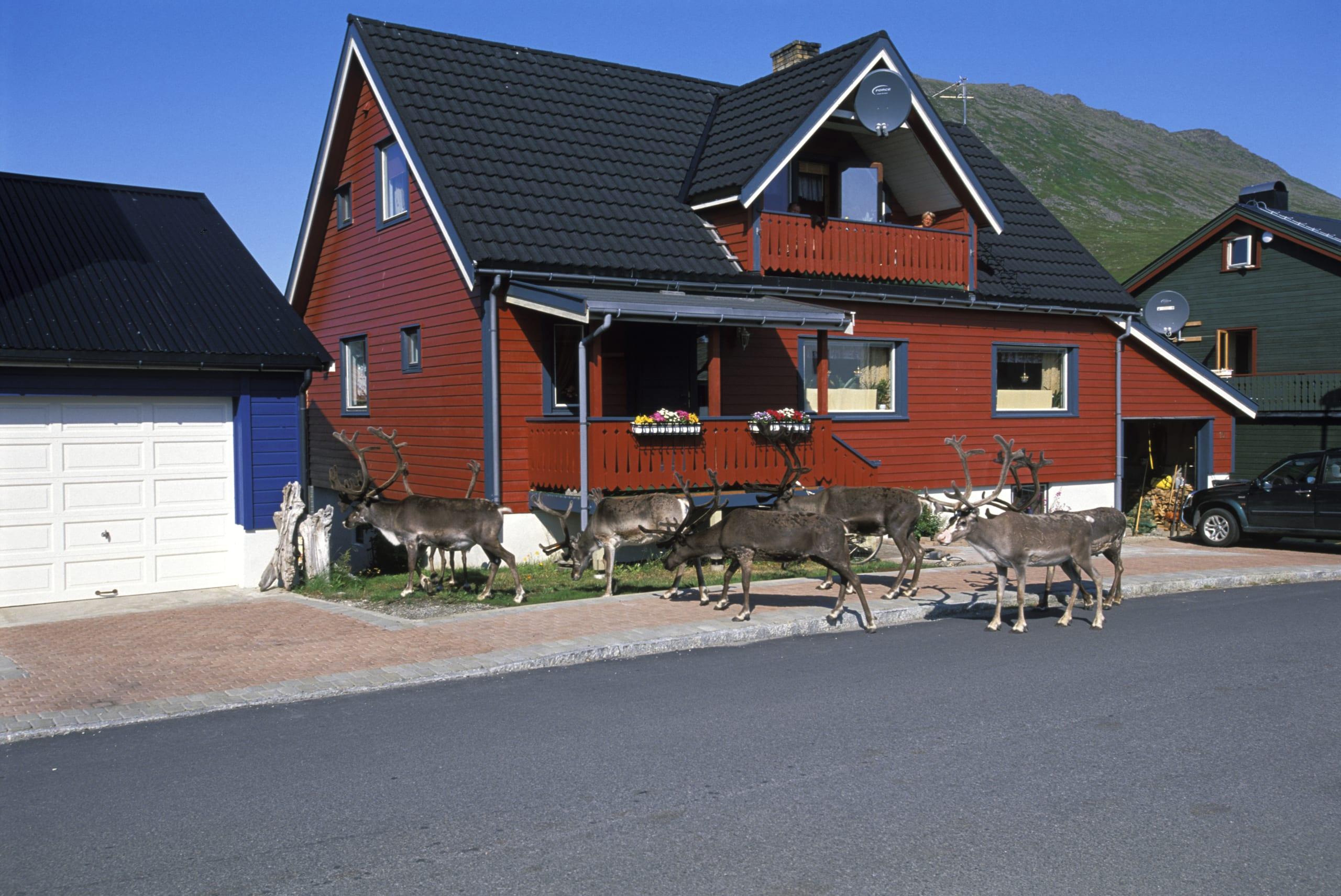 Reindeer feeding in the town of Honningsvær