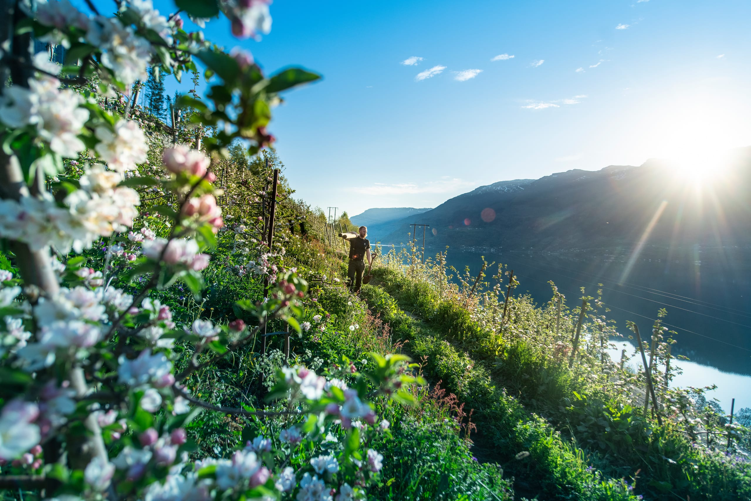 Blooming fruit trees at Bleie Farm in Hardanger
