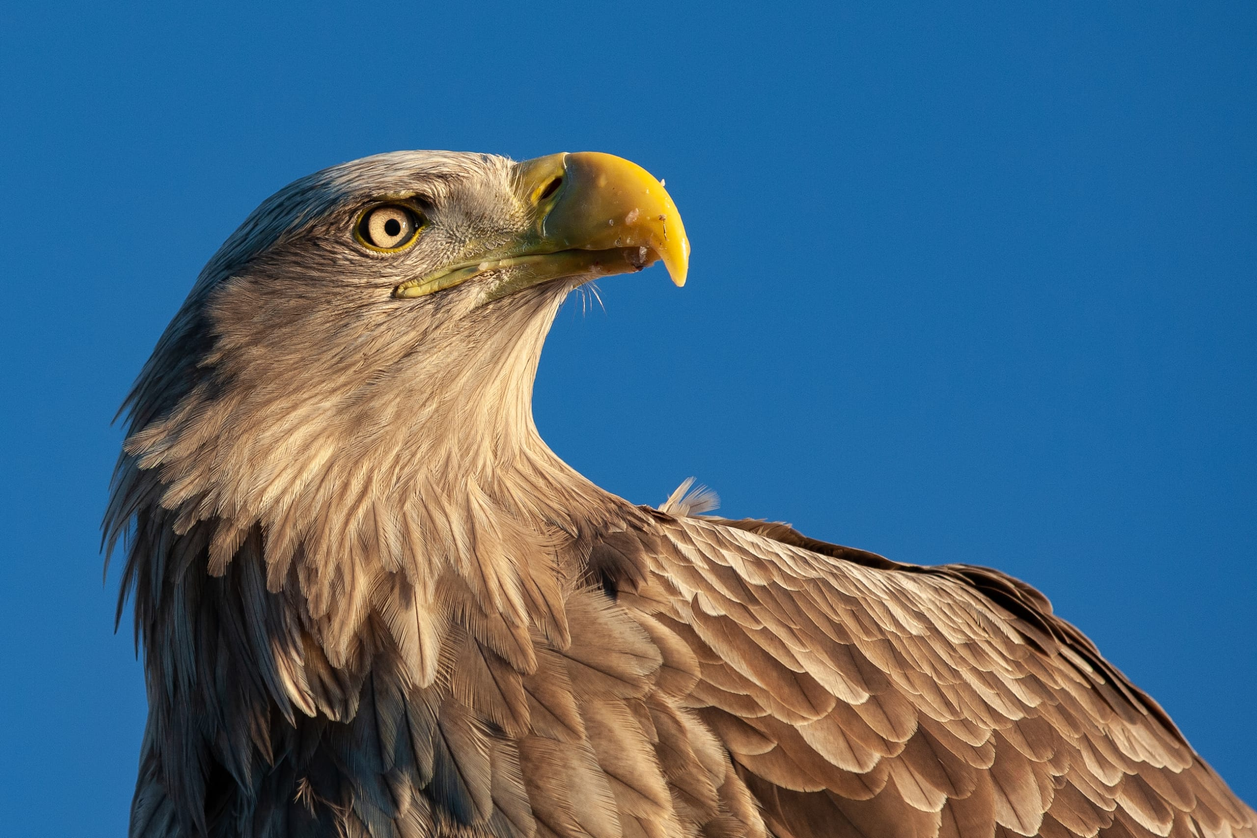 Close-up of Sea Eagle in Lofoten
