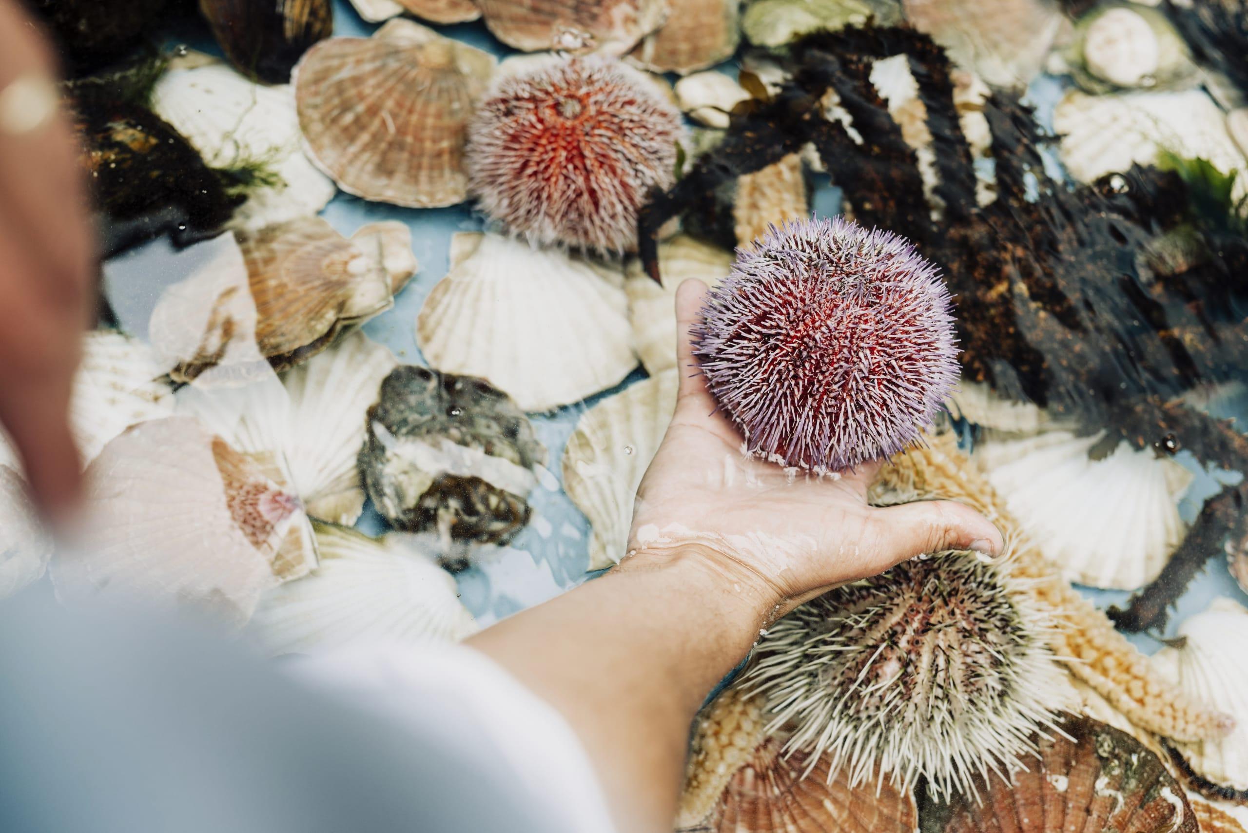 Sea urchins at Cornelius