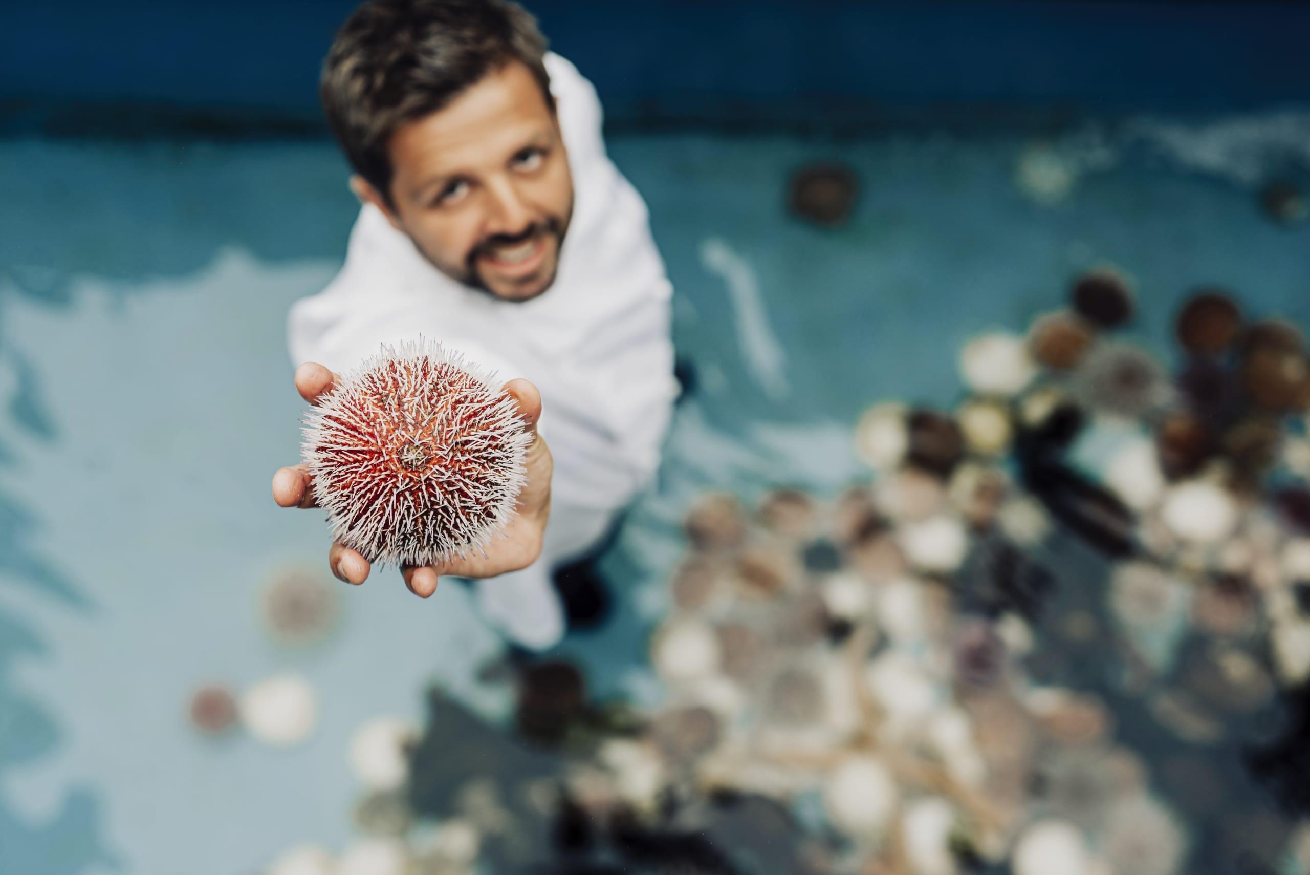 Chef showing  norwegian sea urchins